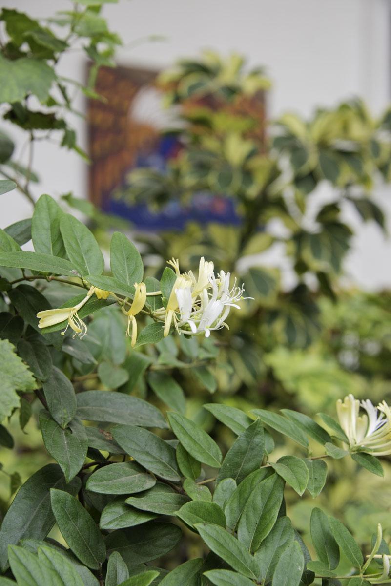 Close Up of a Jasmine Flower