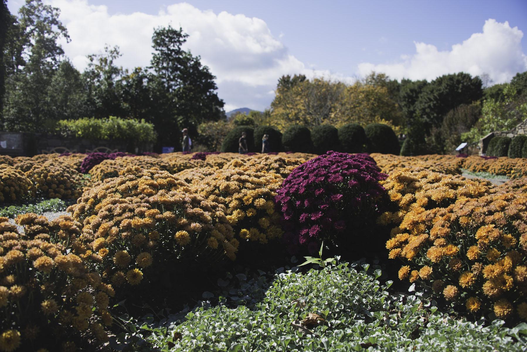 Orange and Purple Chrysanthemums at the North Carolina Arboretum
