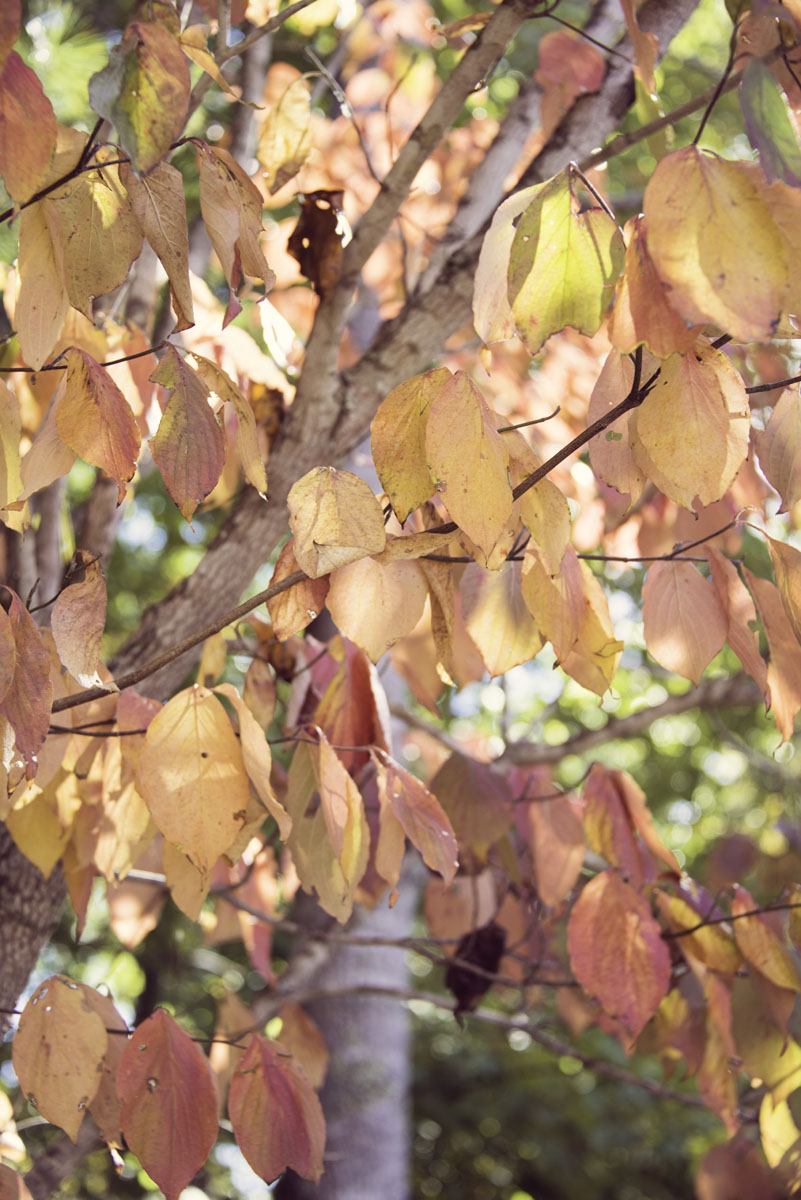 Fall Orange and Pink Leaves at the North Carolina Arboretum