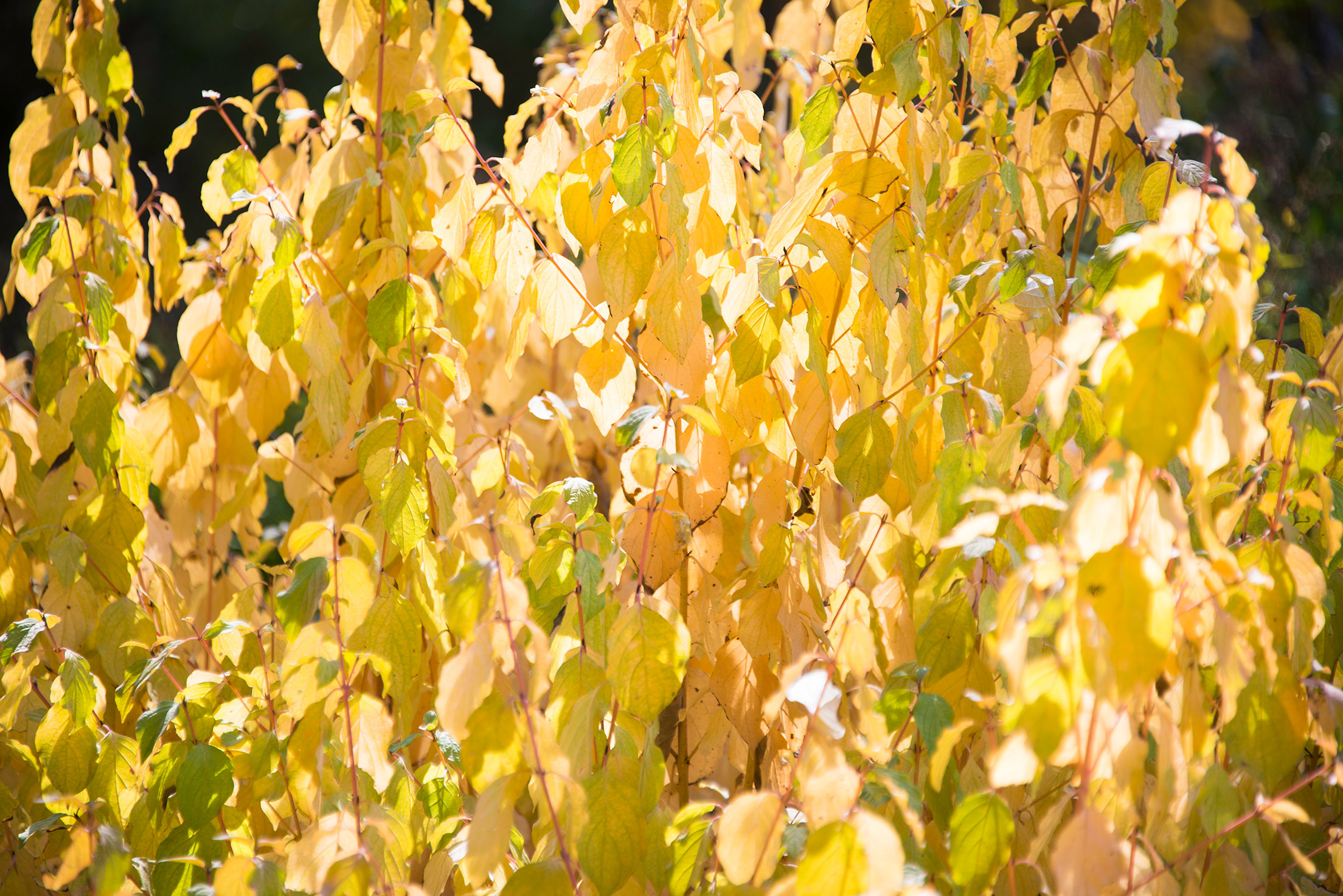 Yellow Leaves at the North Carolina Arboretum