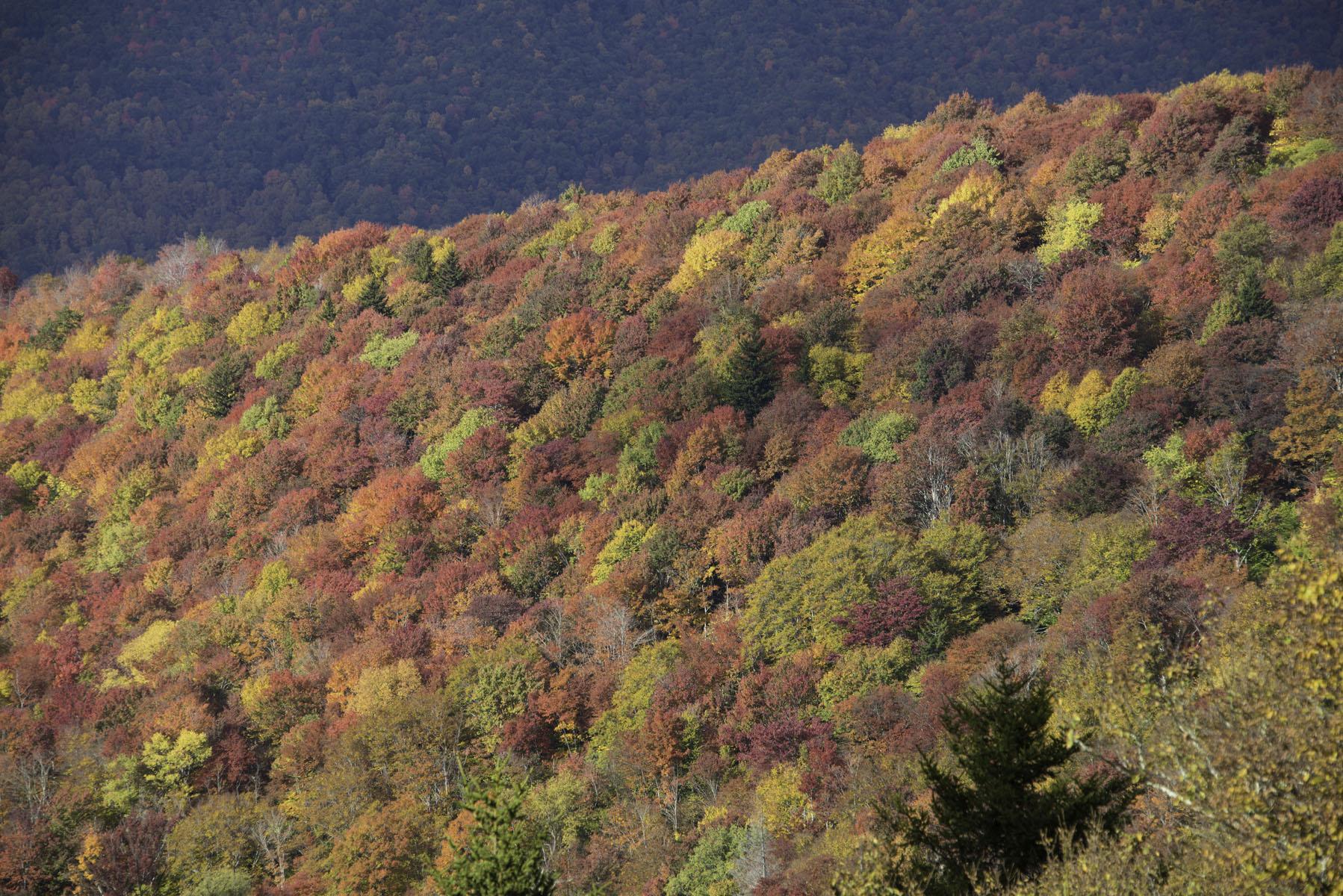 Close Up of Fall Foliage on Blue Ridge Parkway Near Asheville