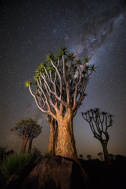 """Nocturnal Trio"" - Quiver Tree Forest, Keetmanshoop, Namibia  The milky way burns bright above a trio of Quiver Trees, standing tall reaching up to the starry night sky above."