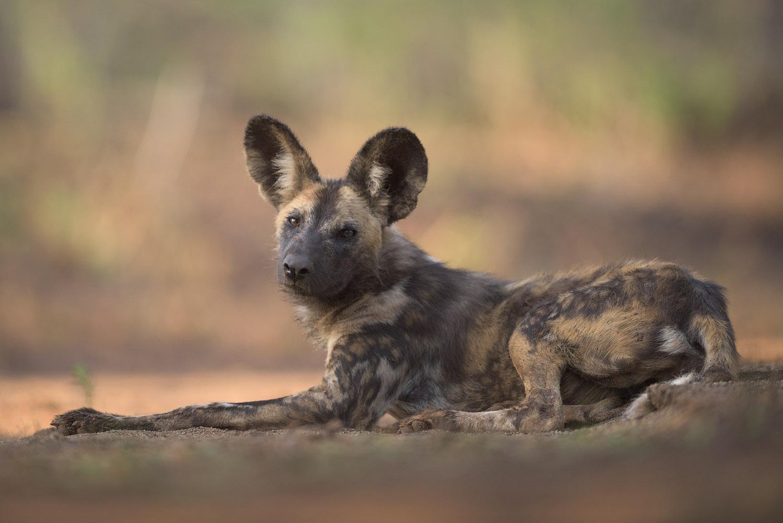 Zimanga - African Wild Dogs