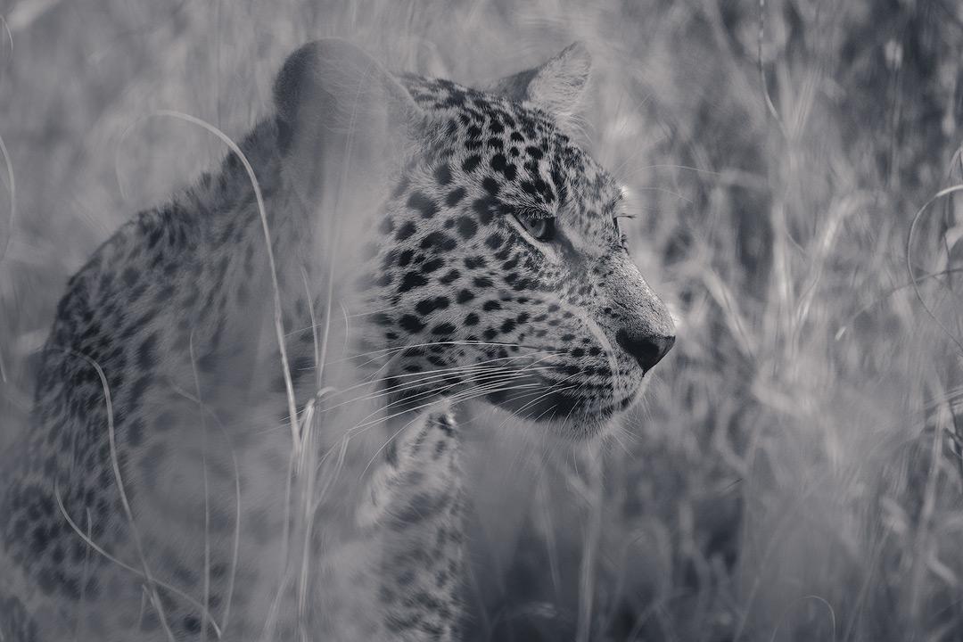 Kruger National Park Leopard Wildlife Photography Mark Dumbleton