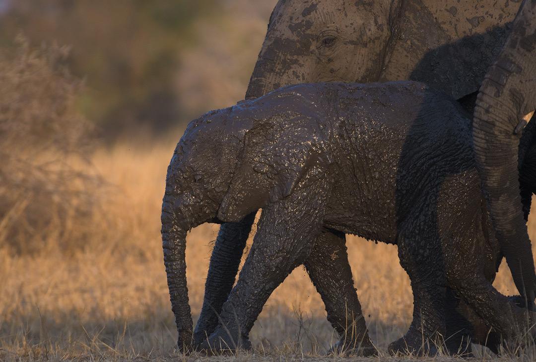 Kruger National Park Elephant Wildlife Photography Mark Dumbleton
