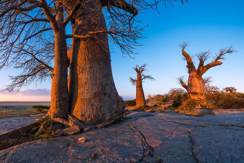 Copy of Baobab Trio