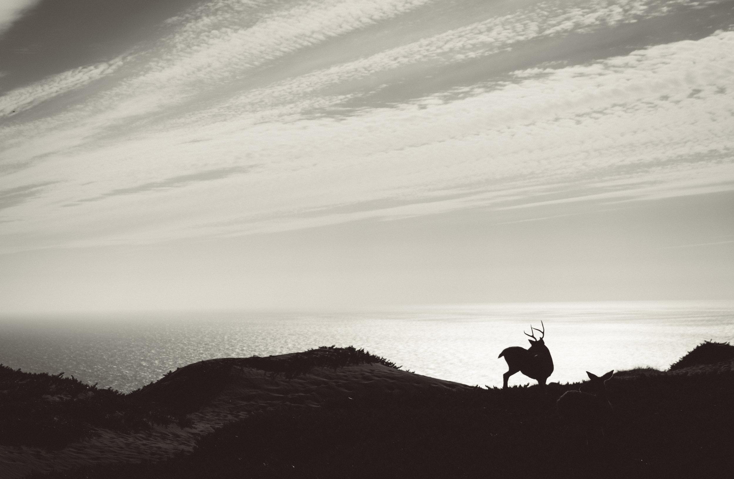 Mule Deer at Point Reyes National Seashore.
