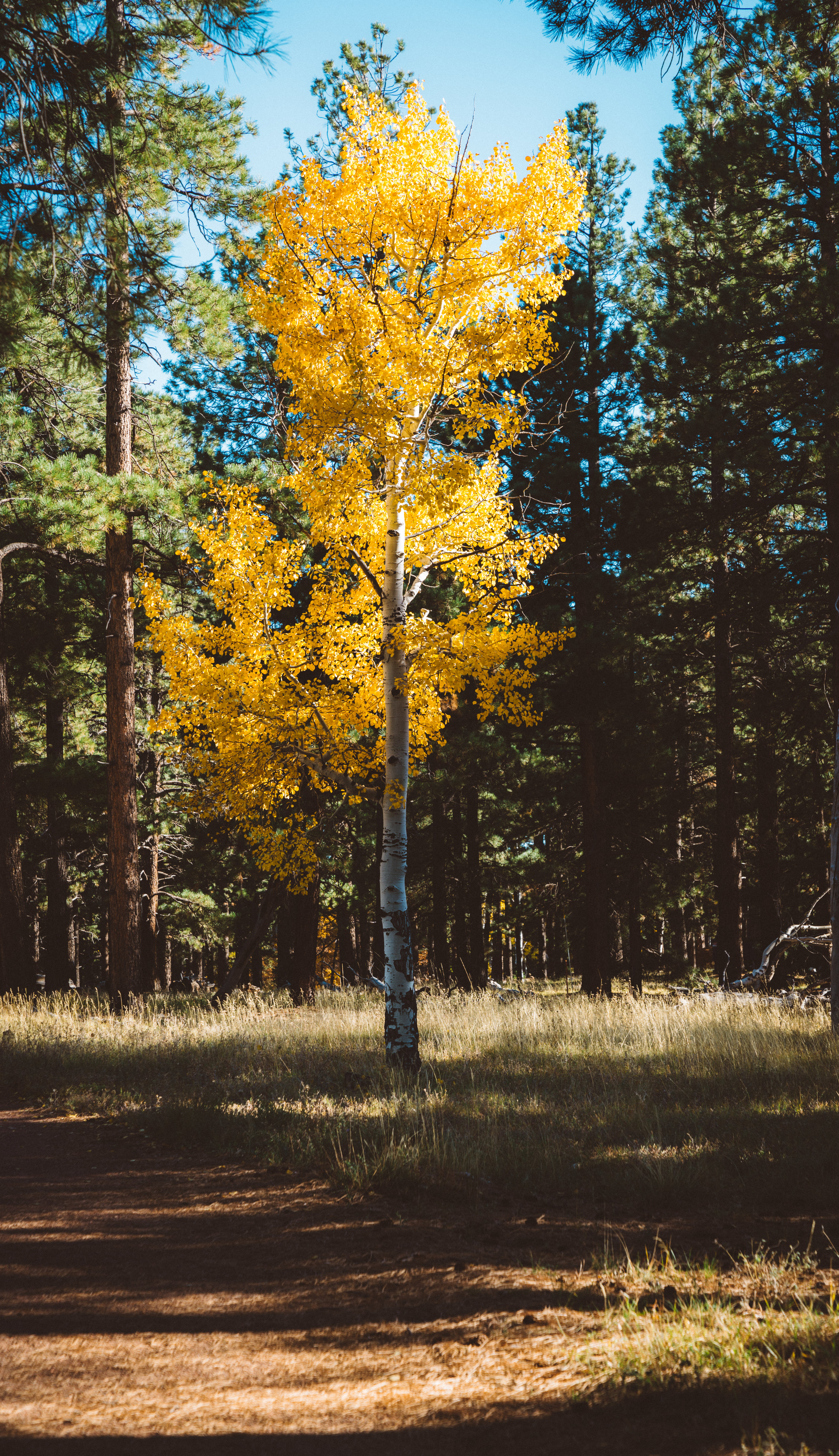 While this isn't a great photo, while wandering the North Rim, it was these trees that made me realize Autumn had truly arrived.
