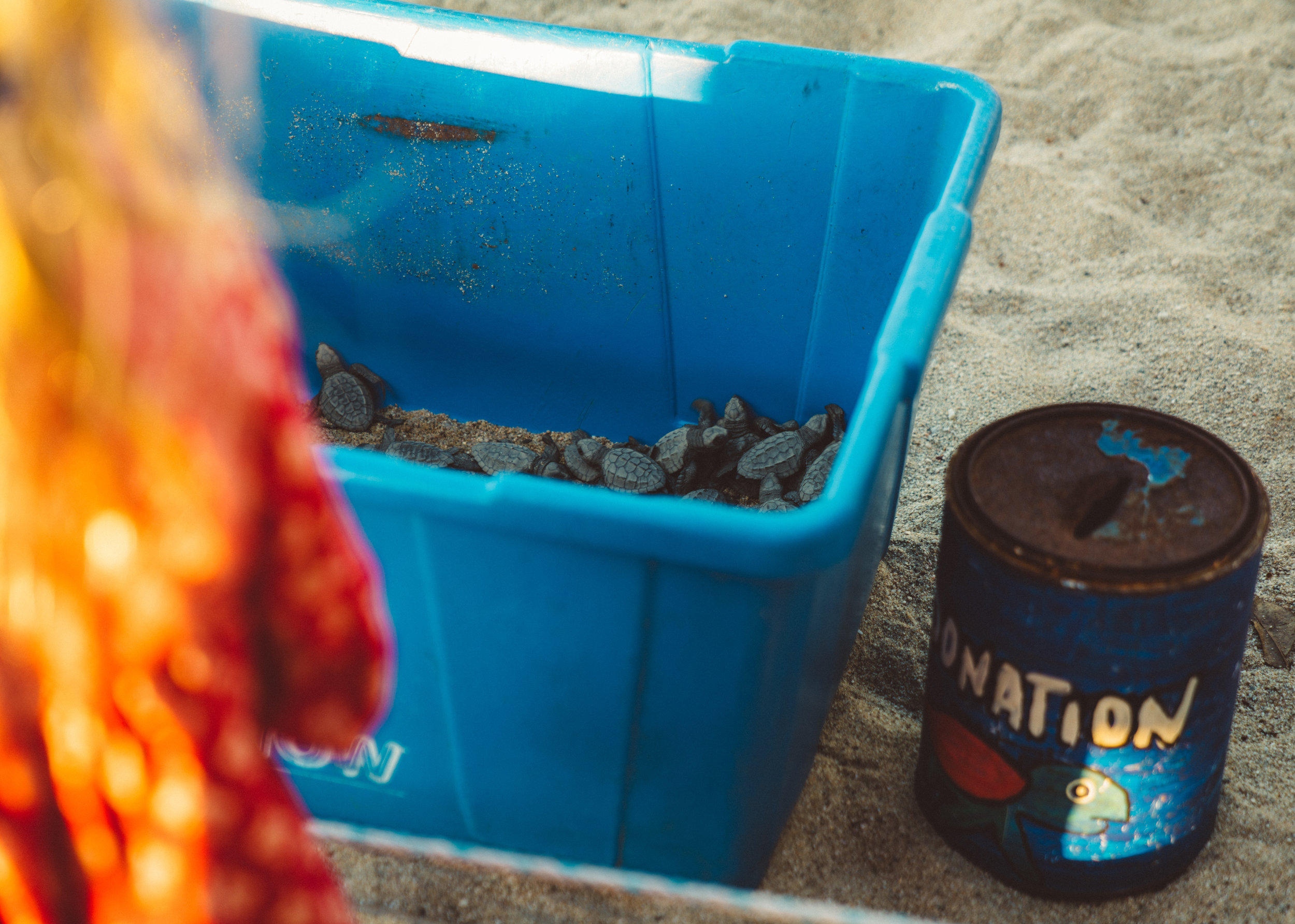 The turtles at Campamento Tortuguero Sayulita just prior to being released.
