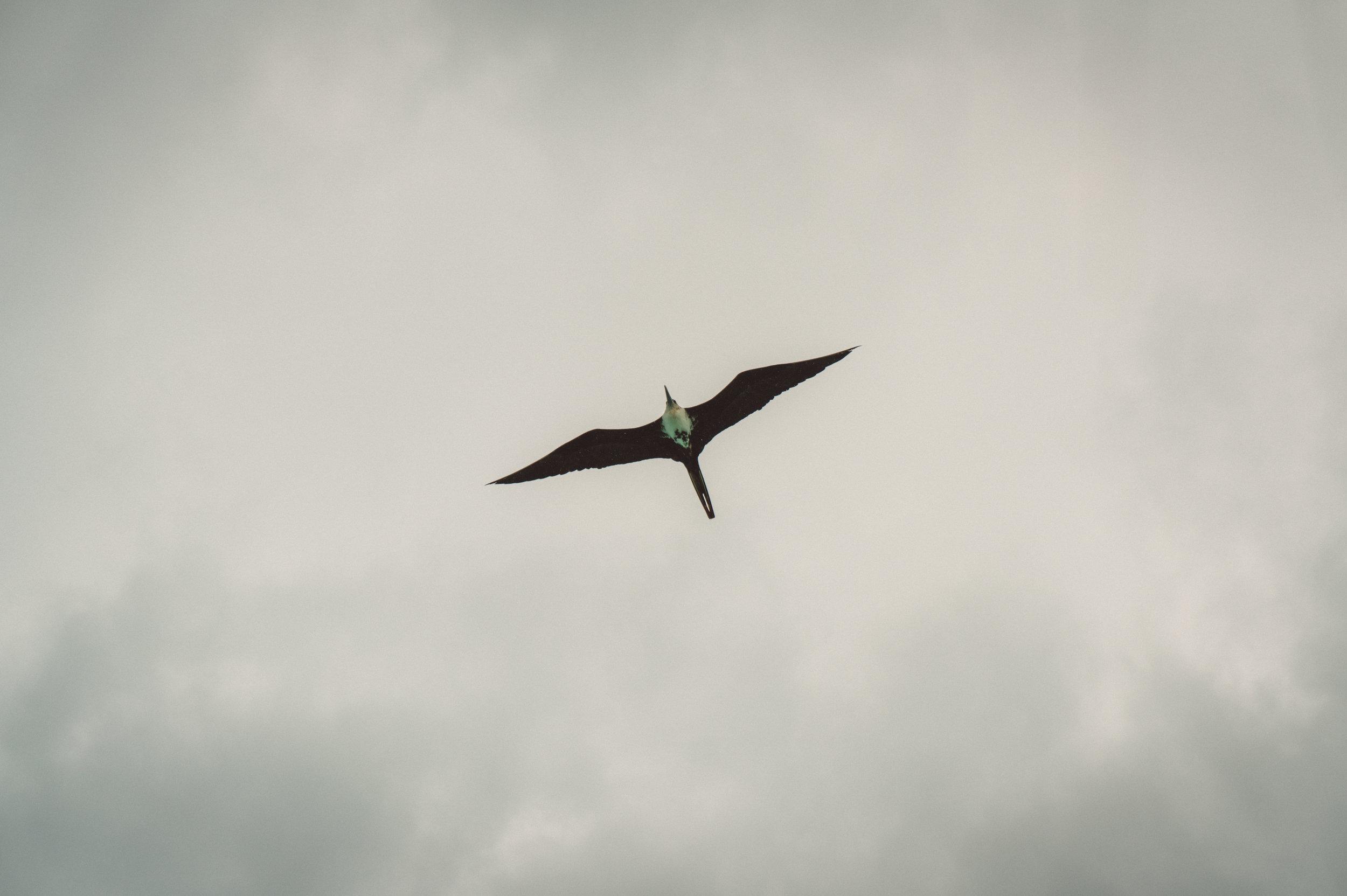 A frigatebird flying above Sarteneja's pier.