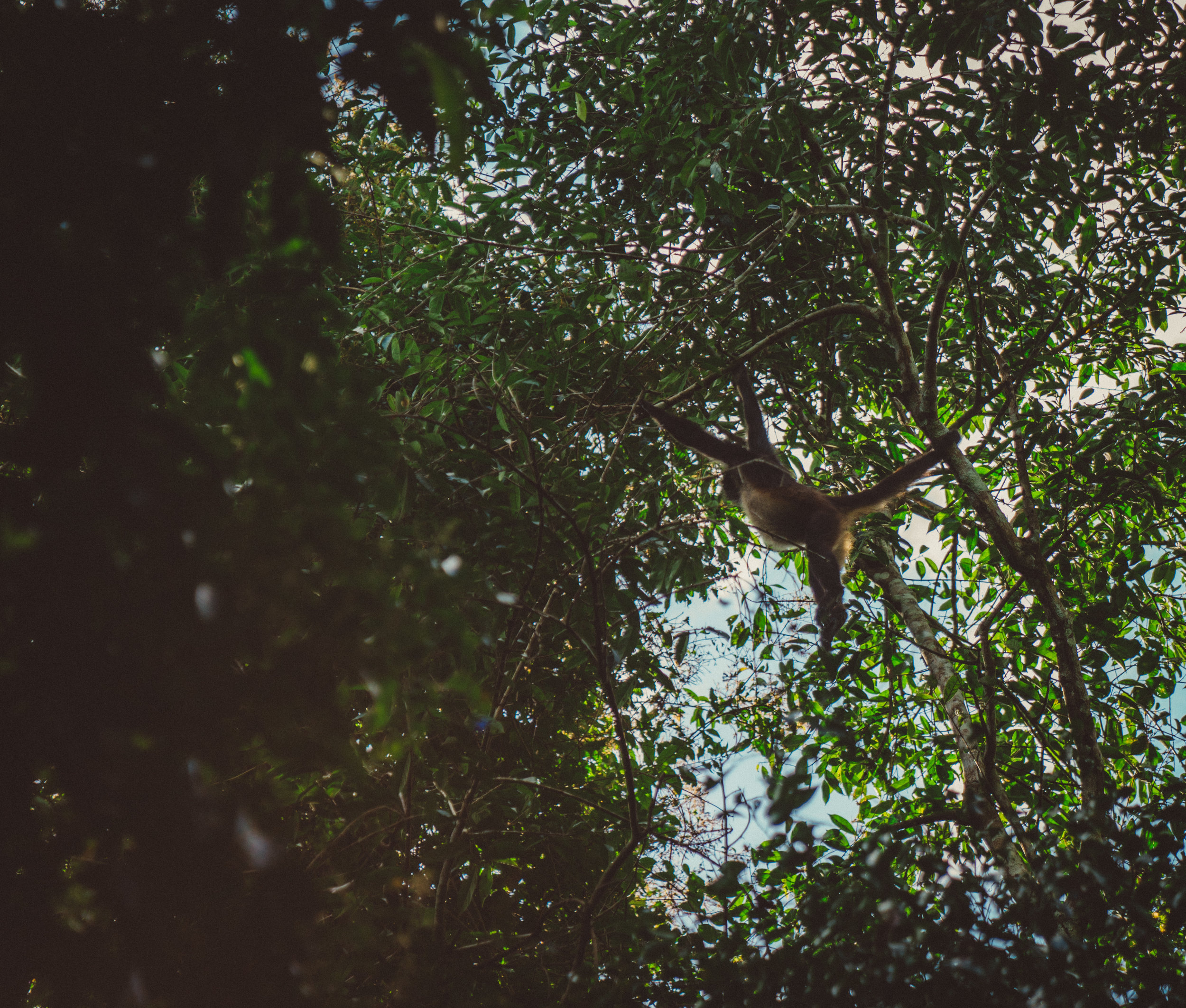 A spider monkey (I'm pretty sure) within Tikal National Park.