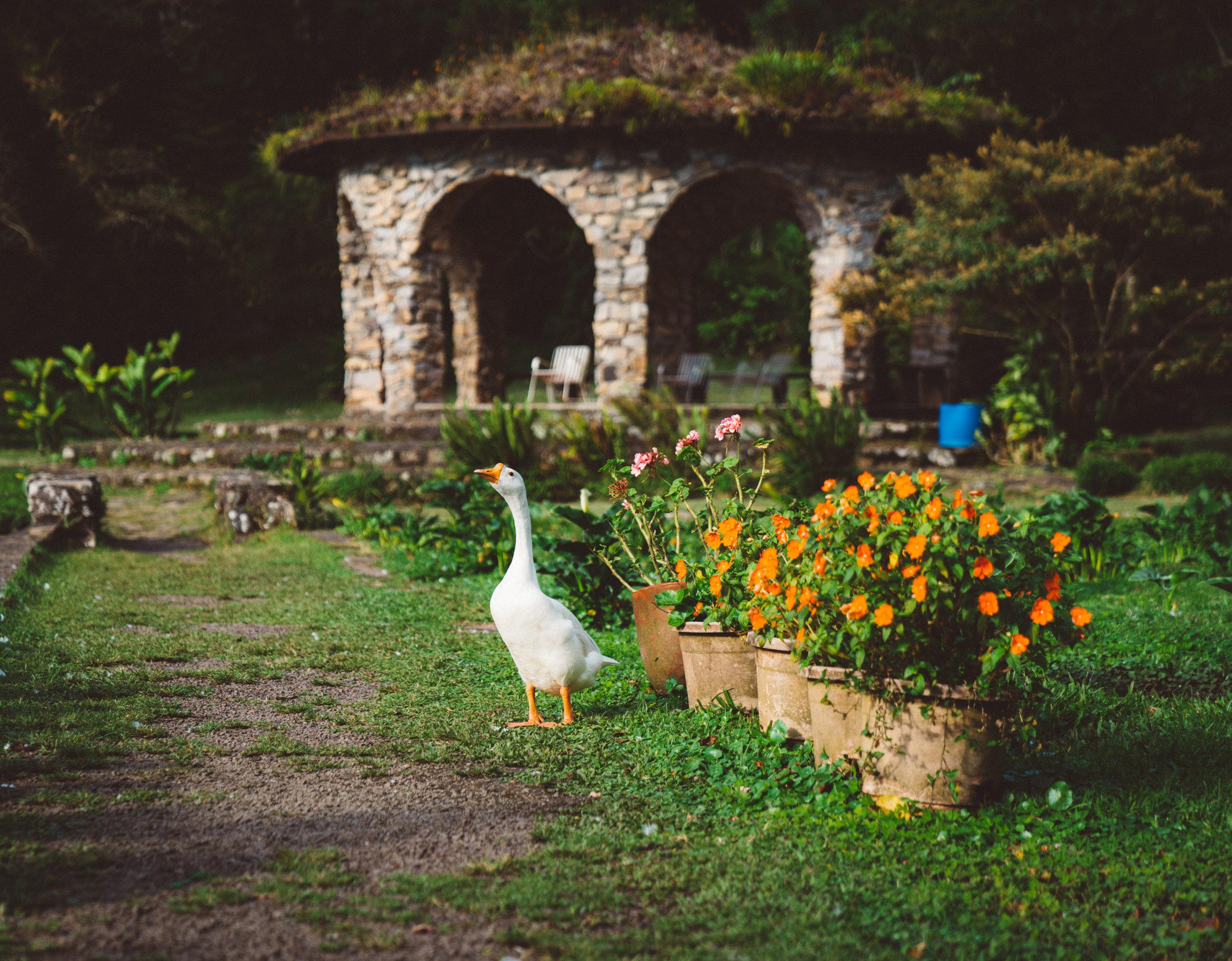 A very photogenic goose.