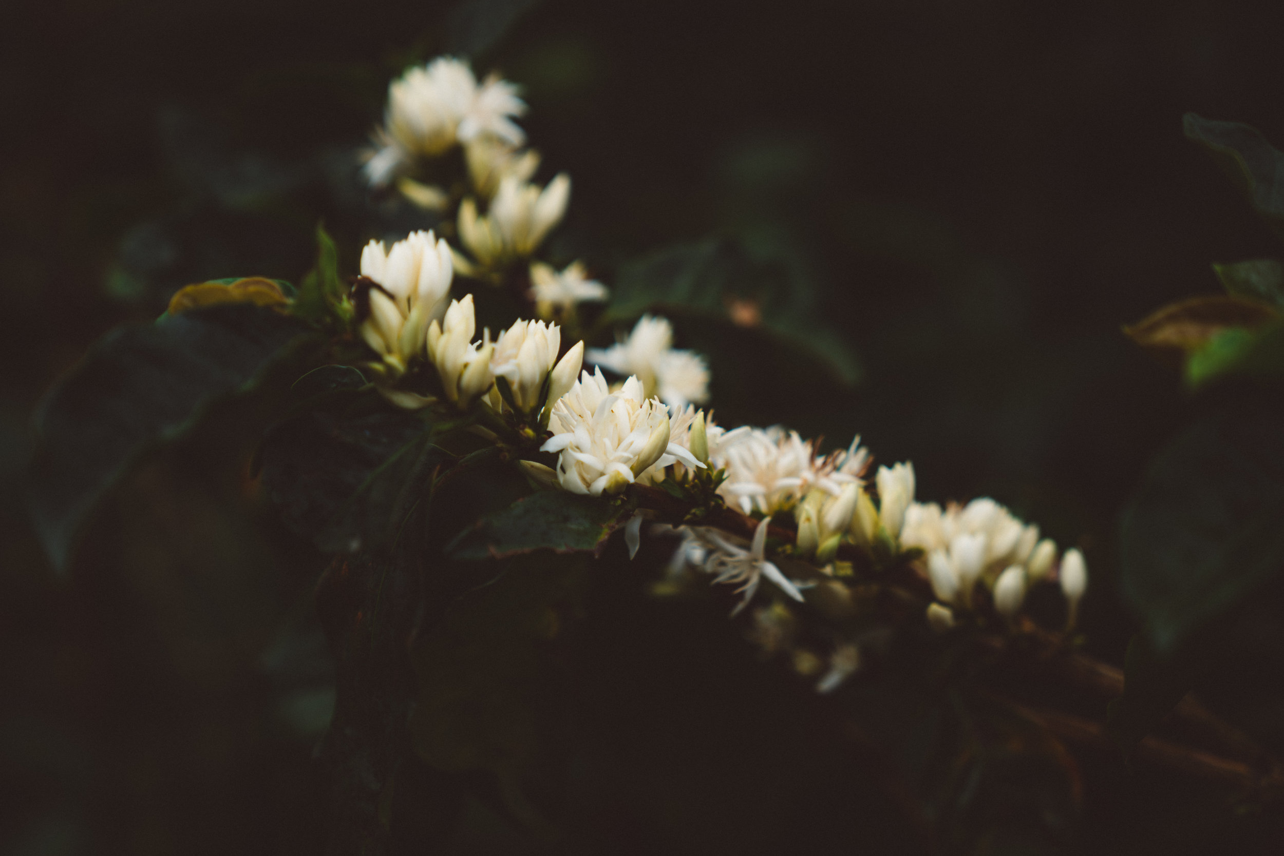 Flowers of the coffee plant.
