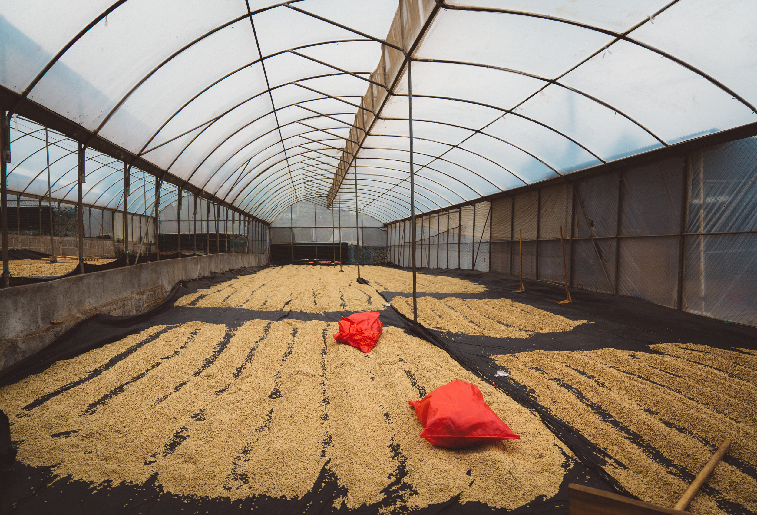 The drying non-organic beans.