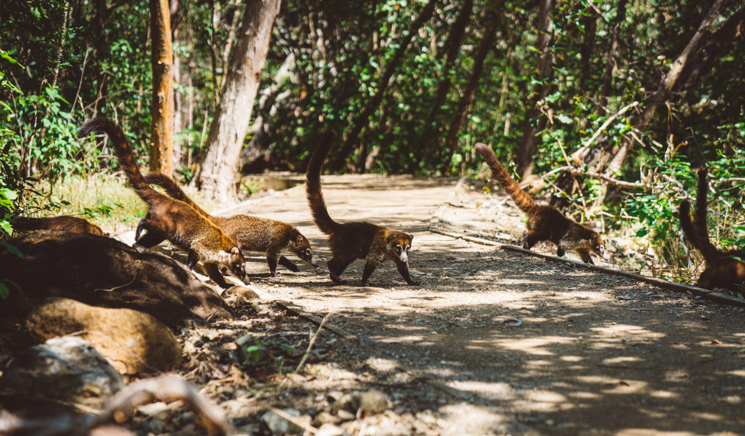 A gang of over thirty coatis crossing the trail in front of us.