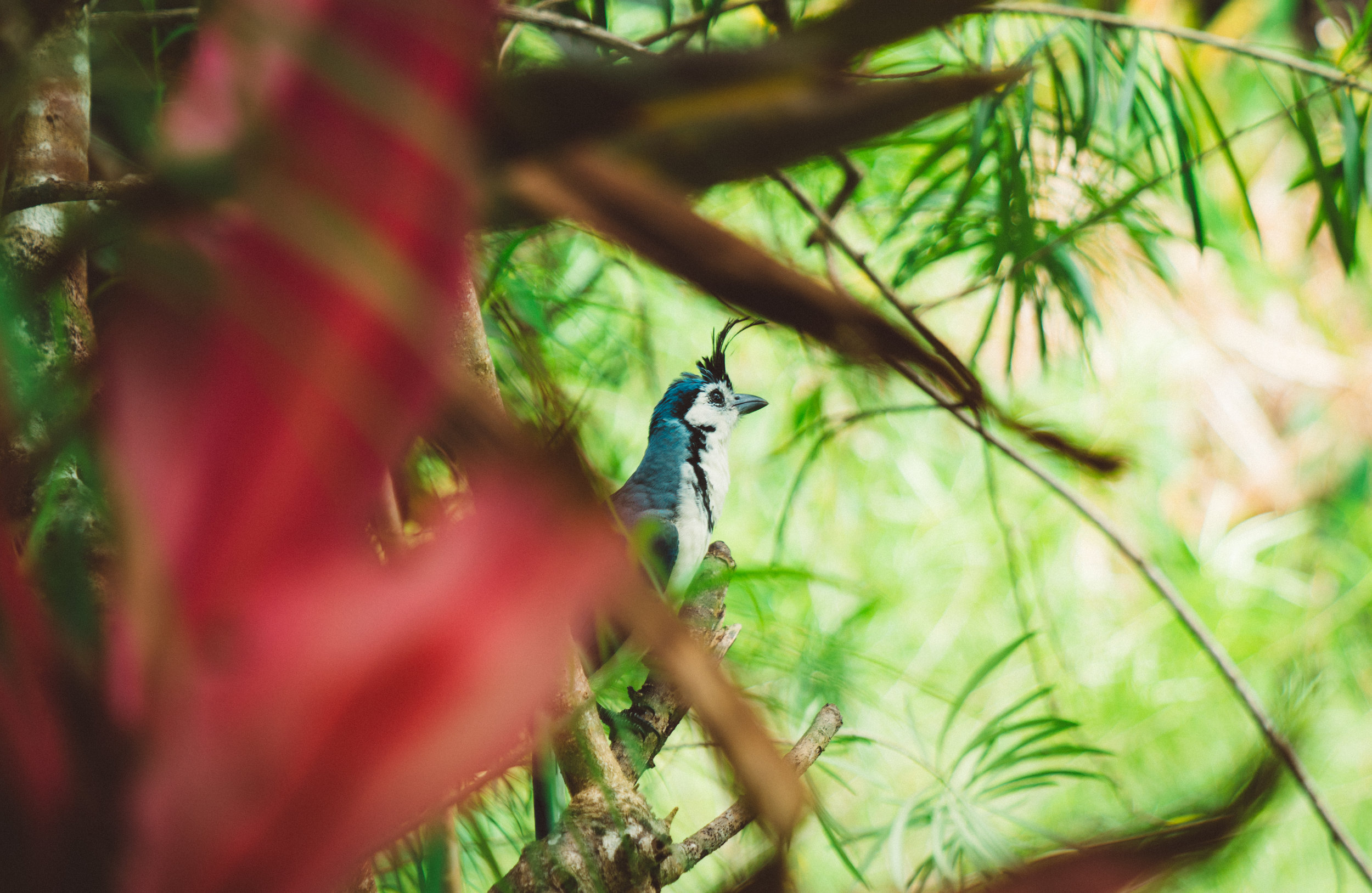 I spotted this White-throated Magpie-jay while I was waiting by Bilbo for Jack and Taylor. It got so close I was able to get some good photos of it.