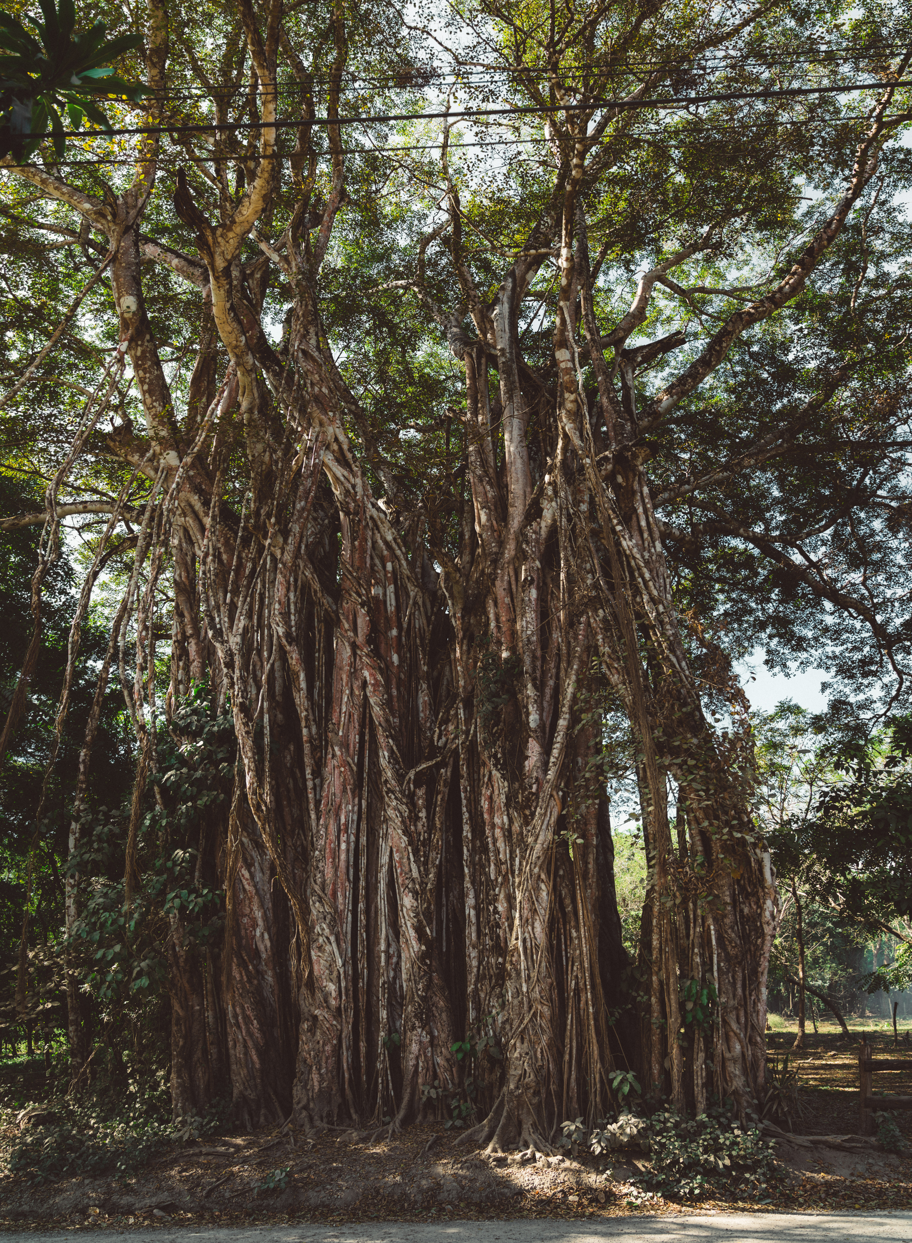 We took a couple trips out to the nearby town of Cabuya to do some snorkeling. On the road there is this Ficus tree, which is apparently a contender for widest in Costa Rica. This is a stitch of four different images.
