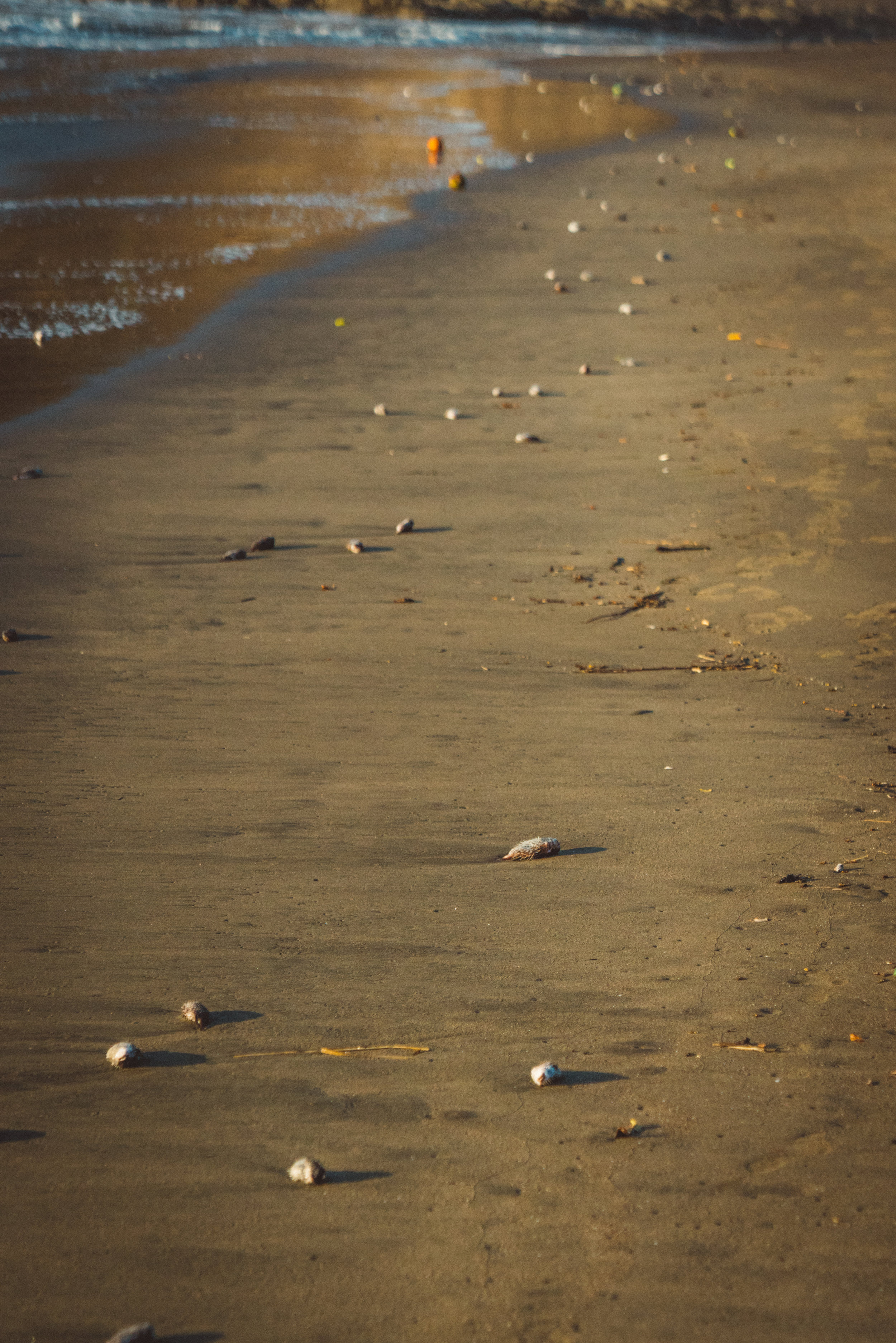 Coco beach was littered with washed up critters, many of which were puffer fish.