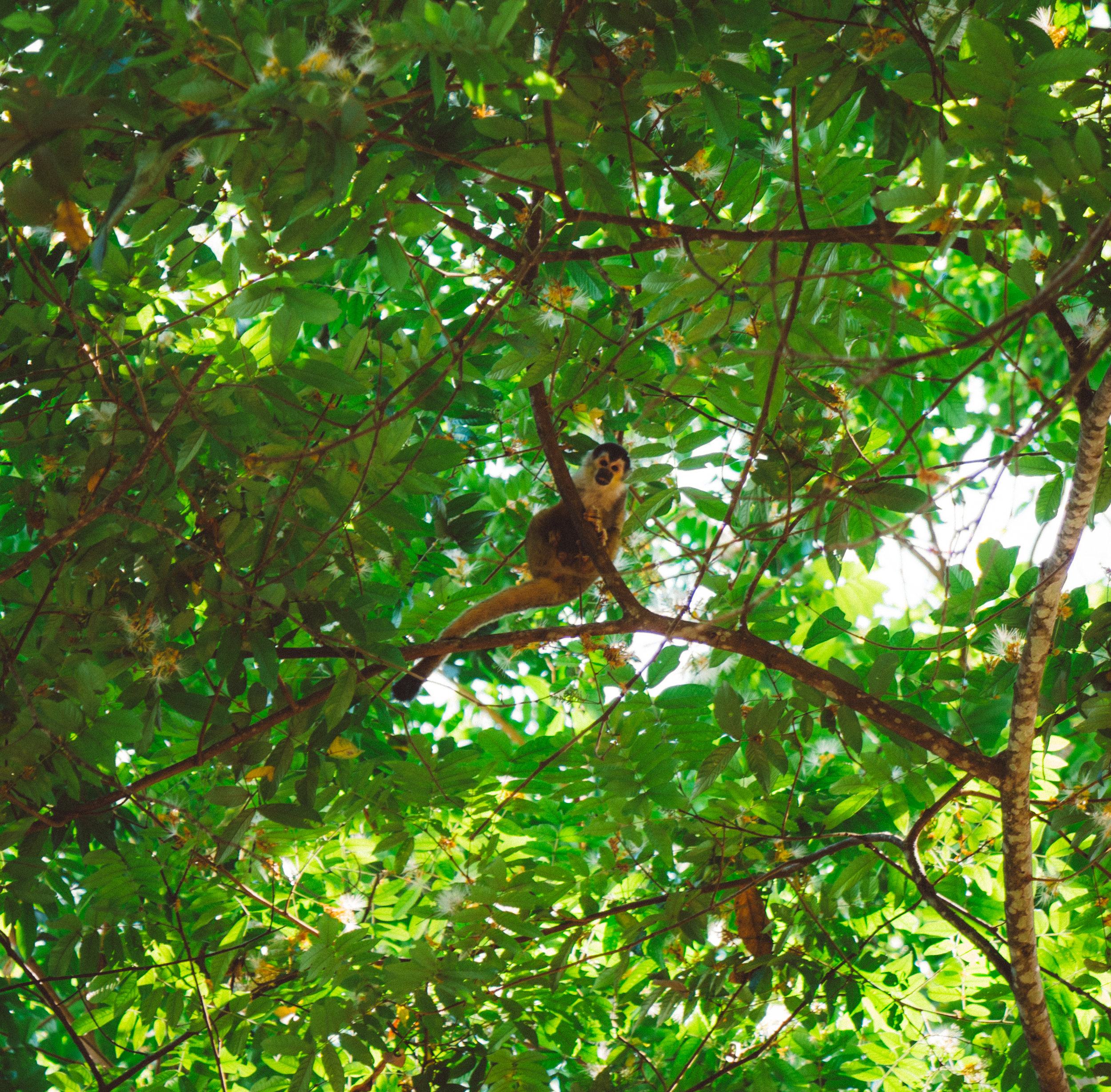 A Squirrel Monkey taking a look as his troop jumped around above us.