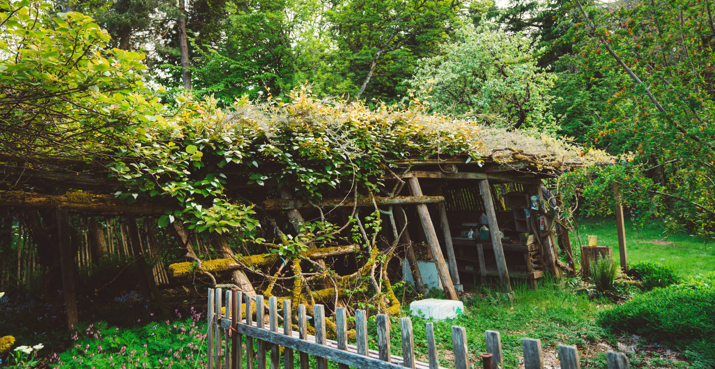 A garden shed covered in kiwi.