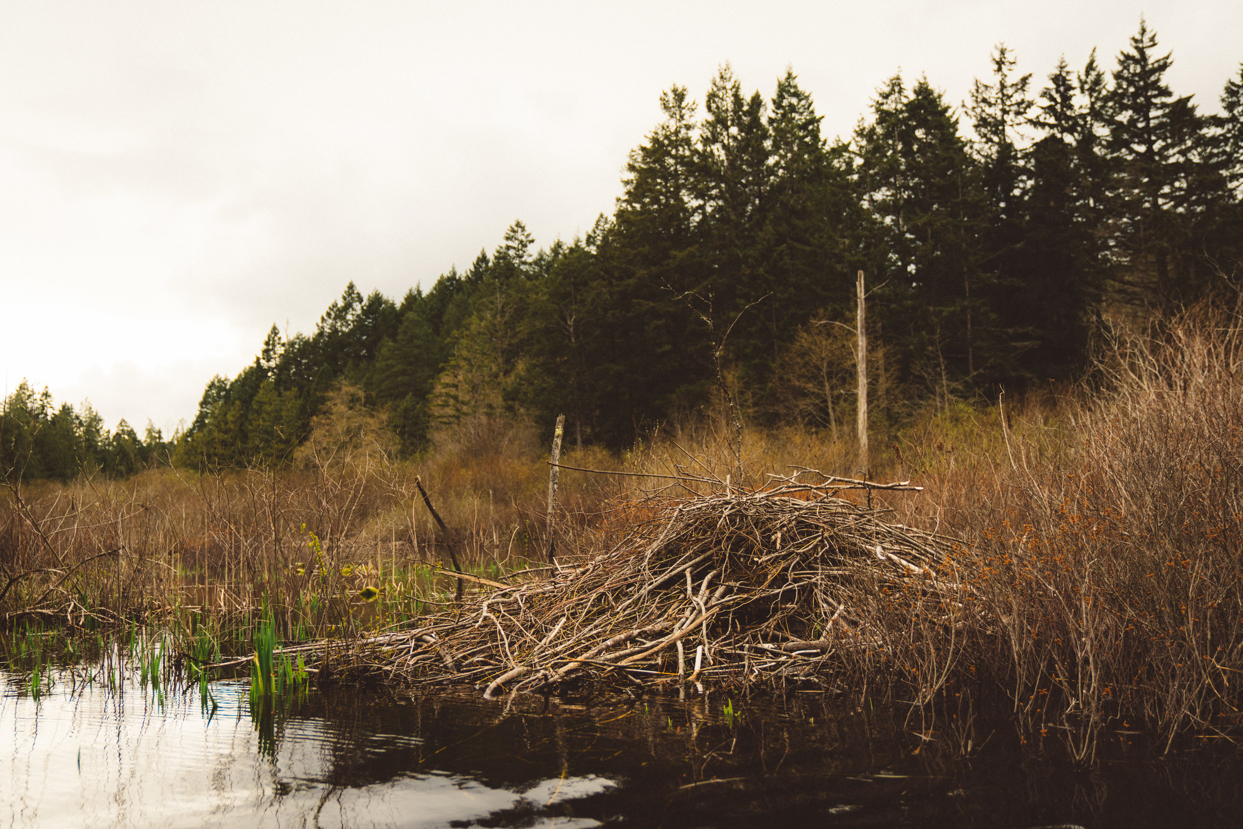 A beaver lodge in the swamp.