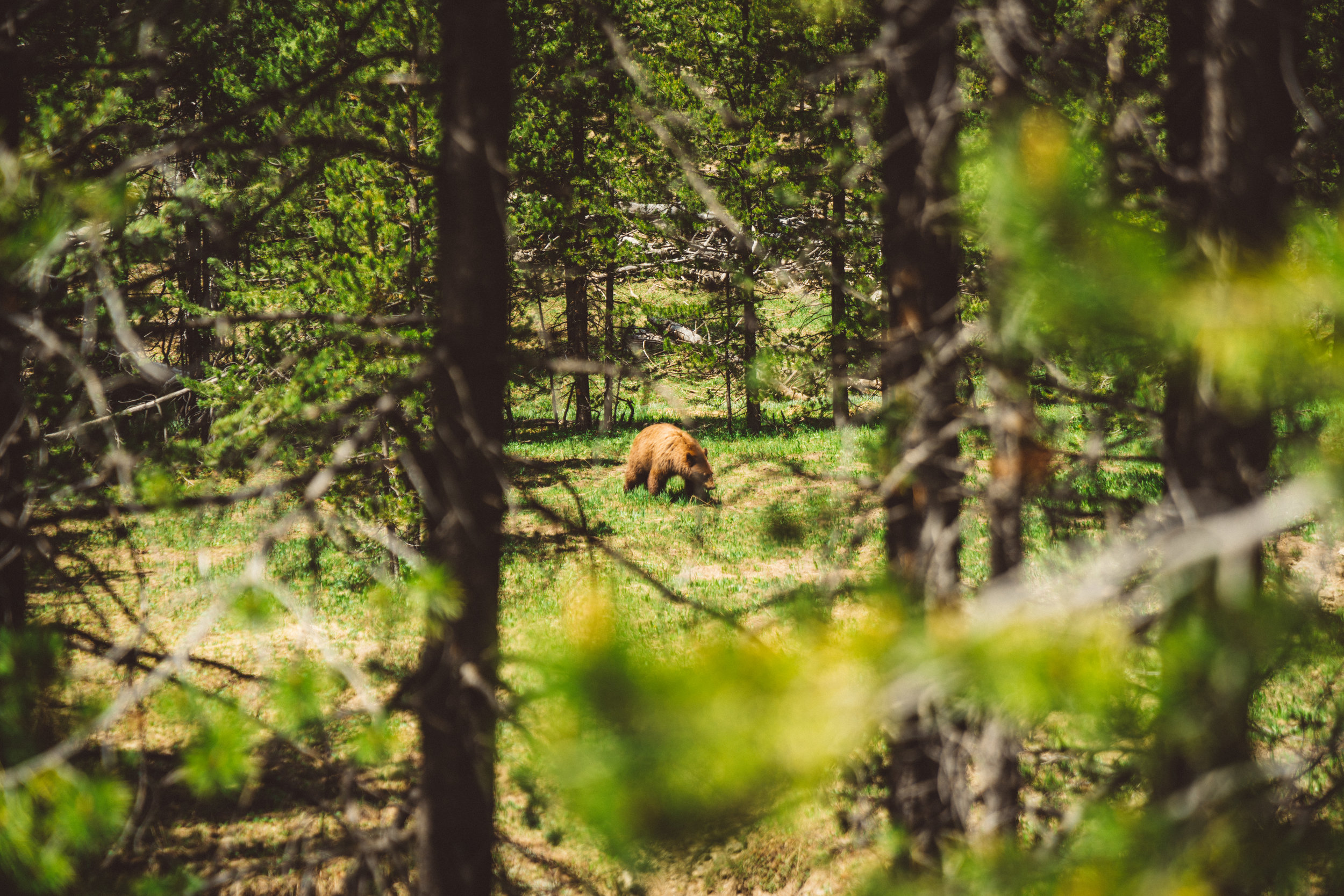 Cinnamon Brown Bear we spotted before our hike.