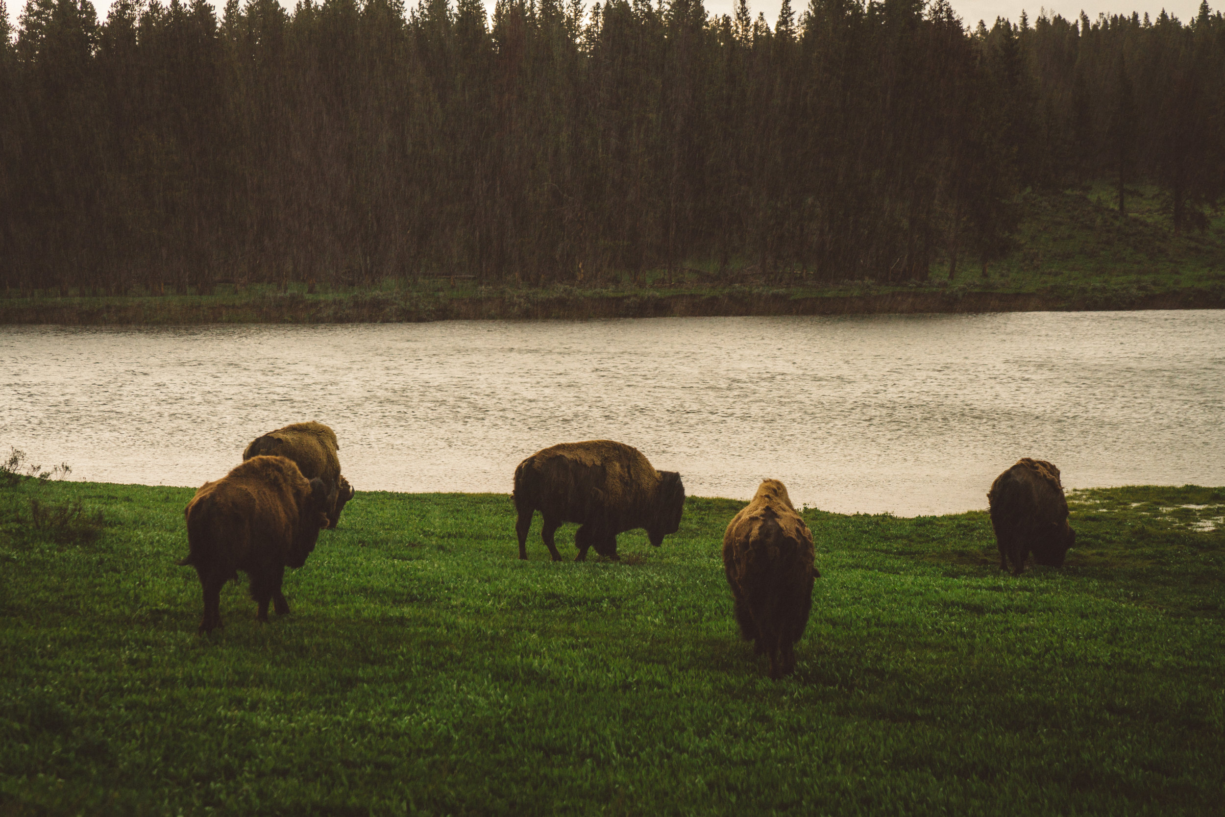 The rain then began absolutely pounding down. As we began to drive back towards the campsite, but we had to stop to take some photos of these majestically stoic bison.