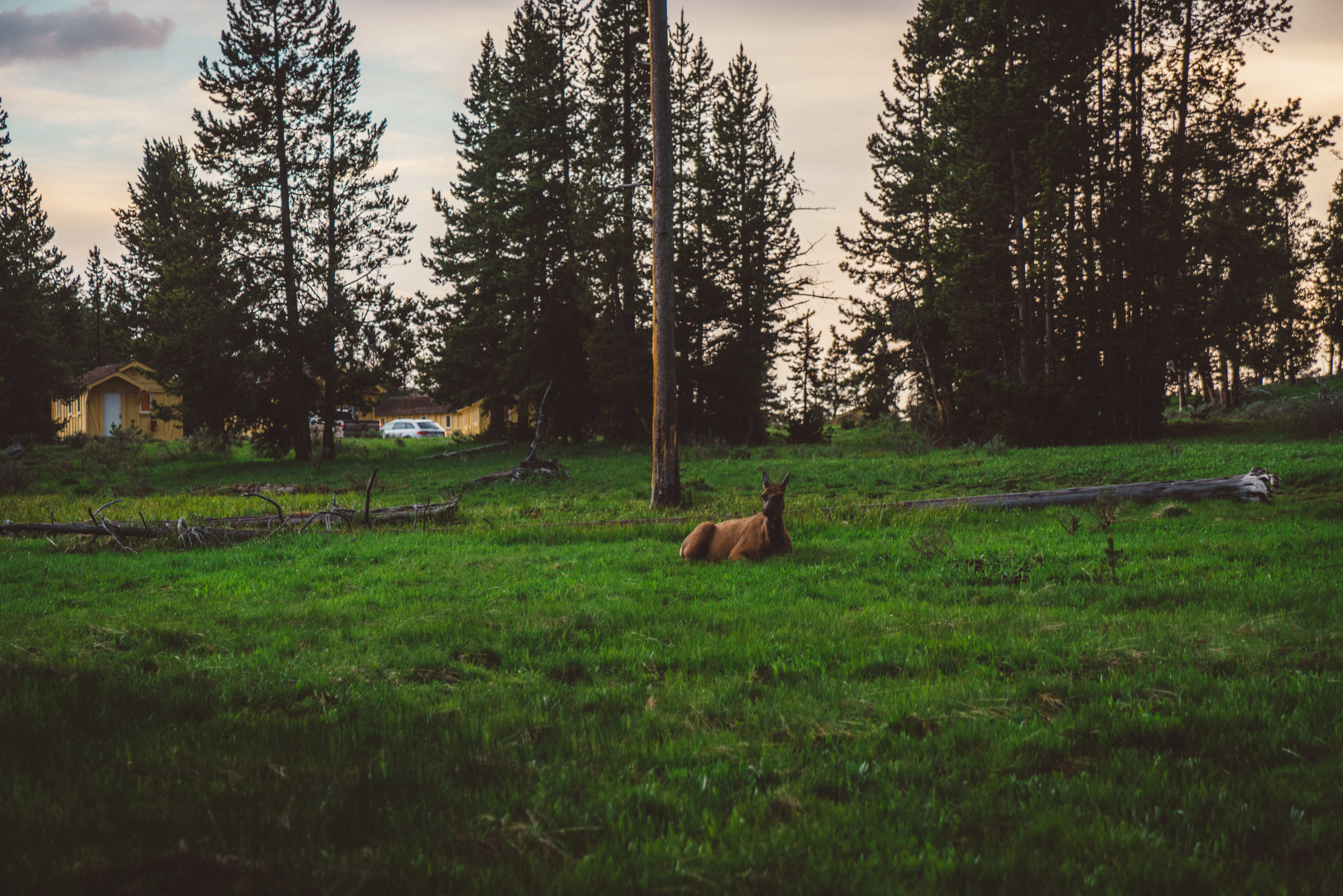 Elk chilling in the village.
