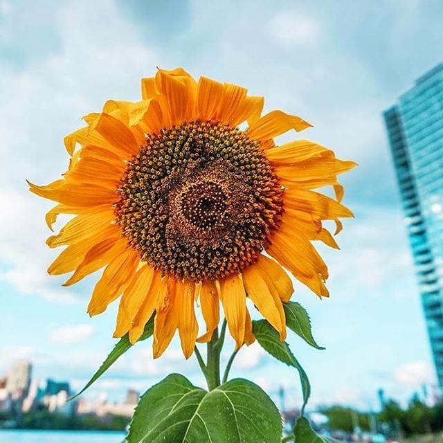 Happy Sunday 🌻🏙📸 . . . . . @nyc.kaitography #sunday #longislandcity #sunflower