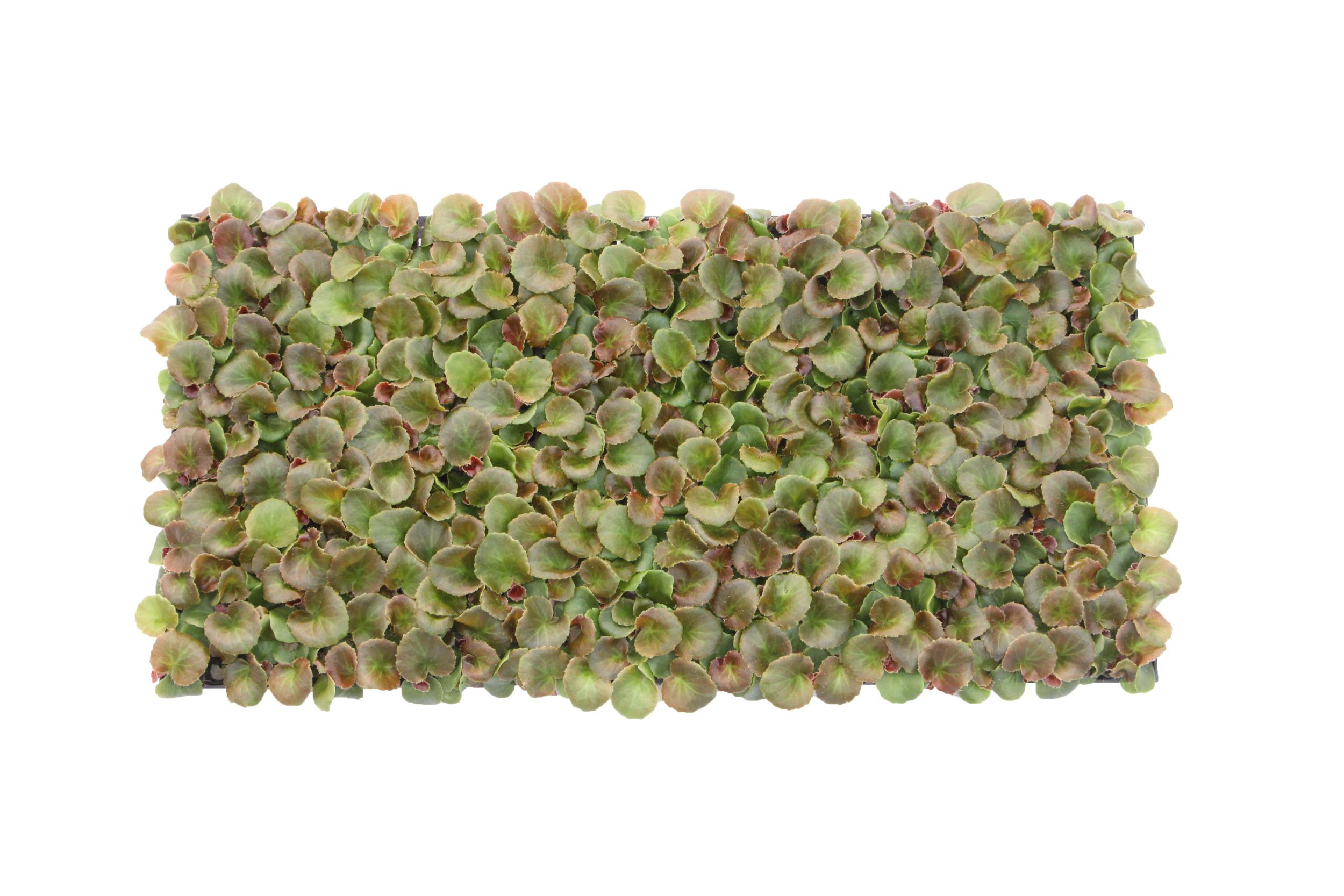 Begonia Tray (288)