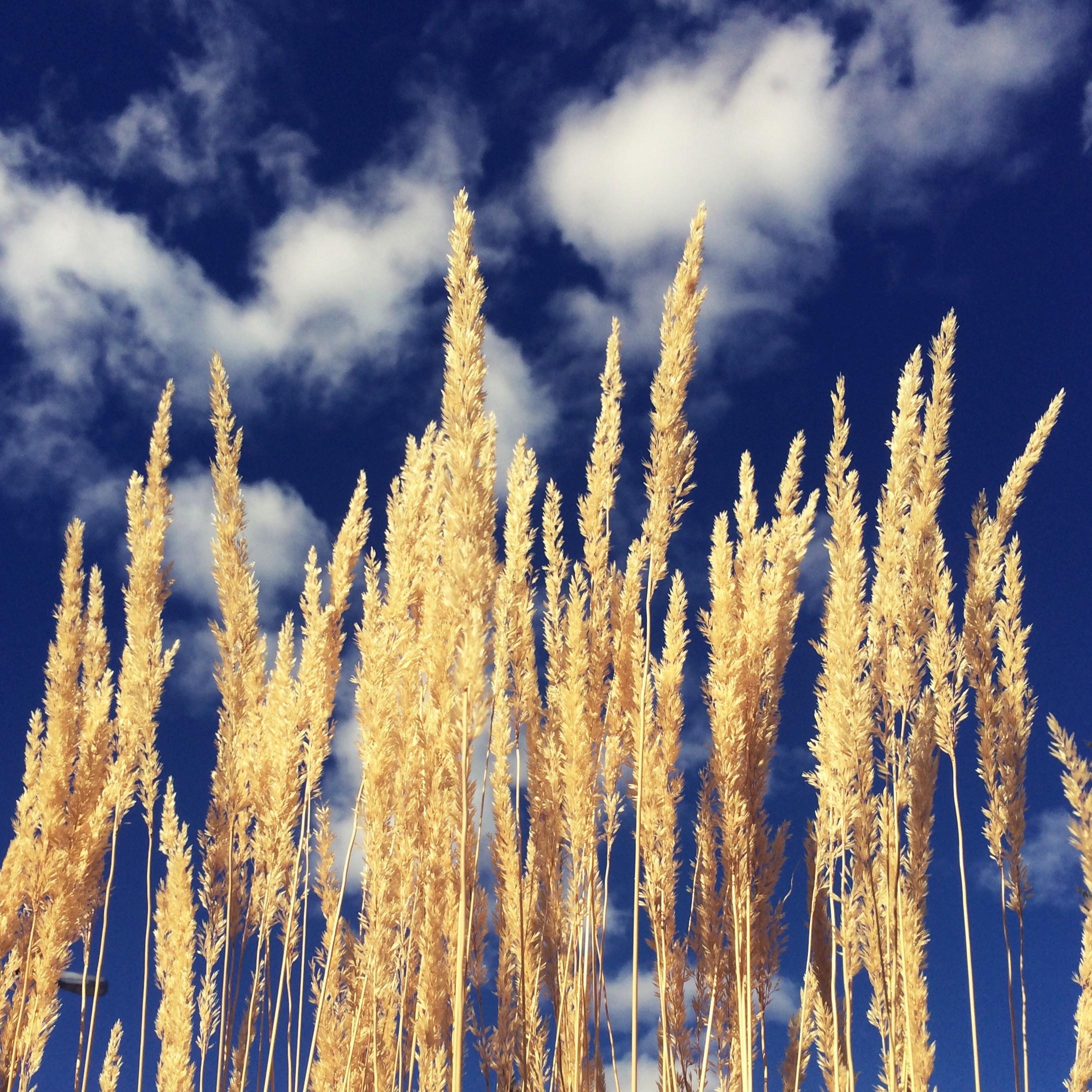 Golden stalks and blue skies.jpg