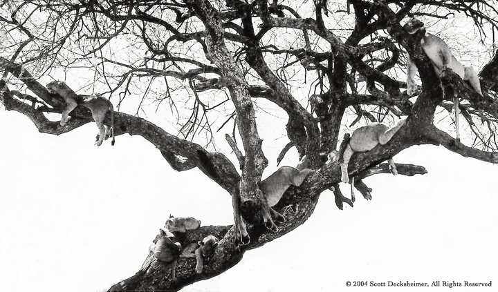 Photo of Lions in Tree - B&W 10 wide @72 With Credit to SD.jpg