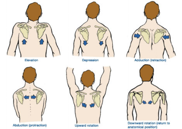 All movements the scapulae are responsible for.