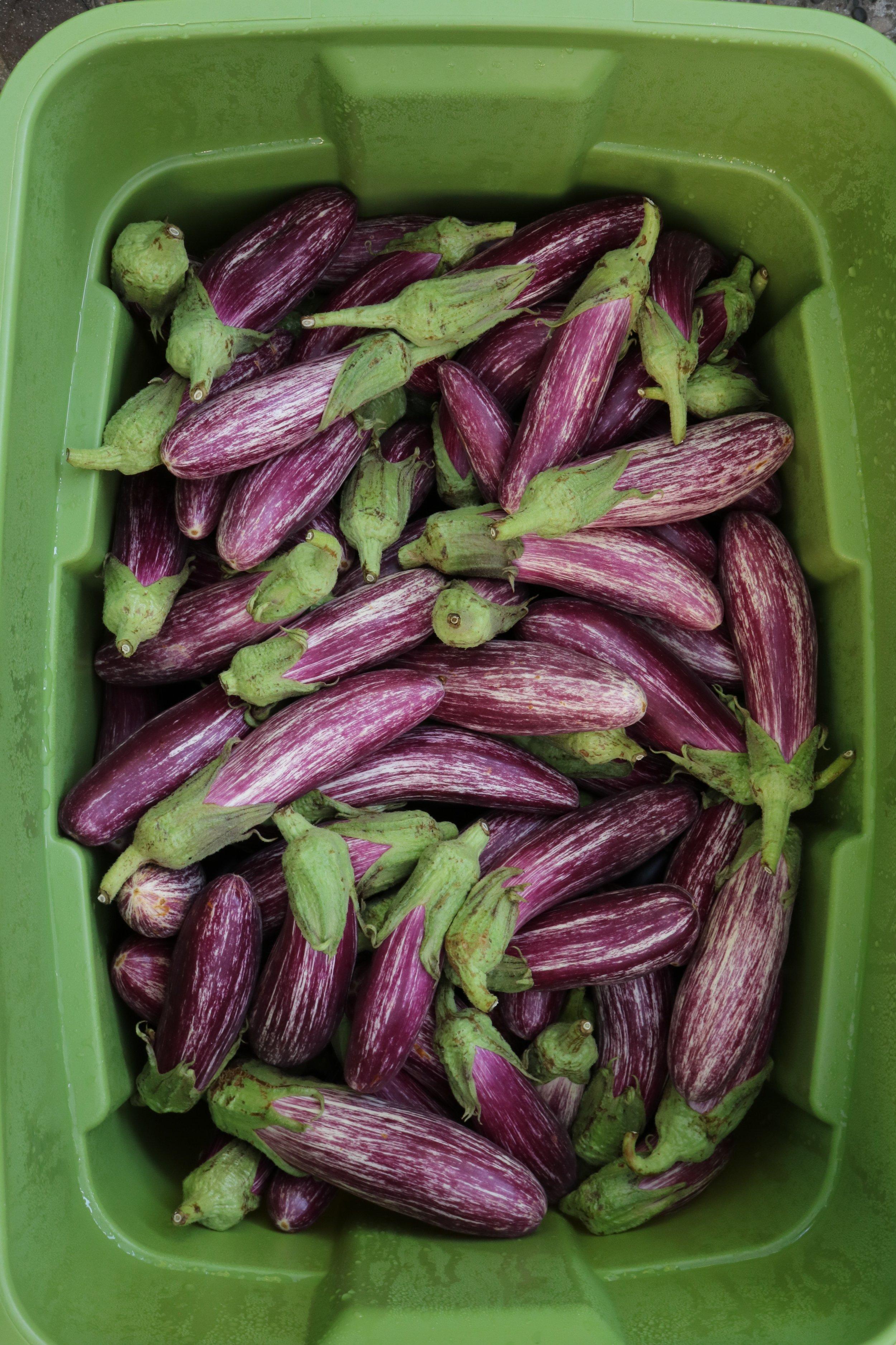 Greek Eggplant from    Square Peg Farm