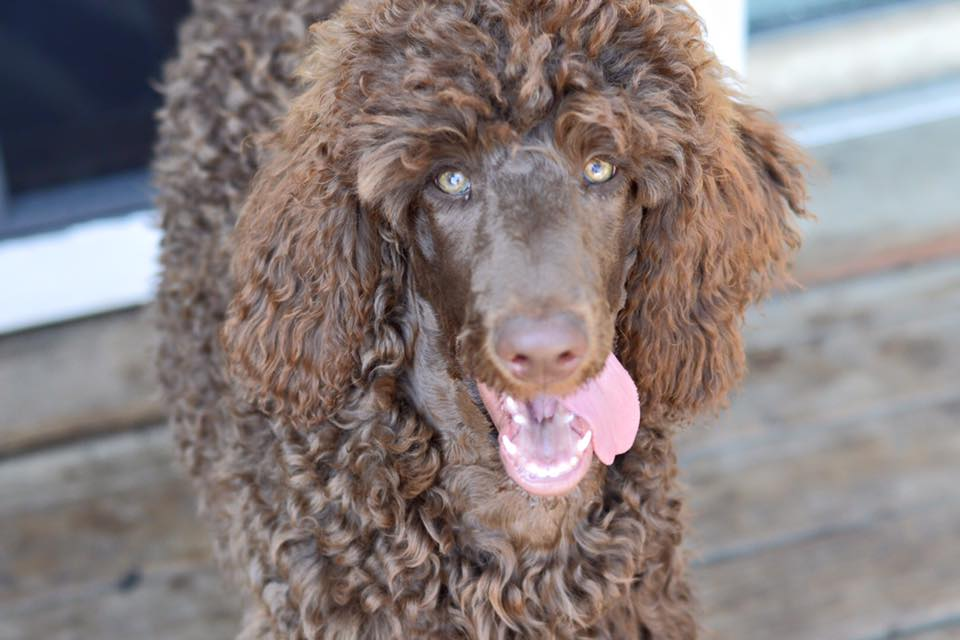 pipers-standard-poodles-mansfield-ohio-#pipers_poodles.jpg