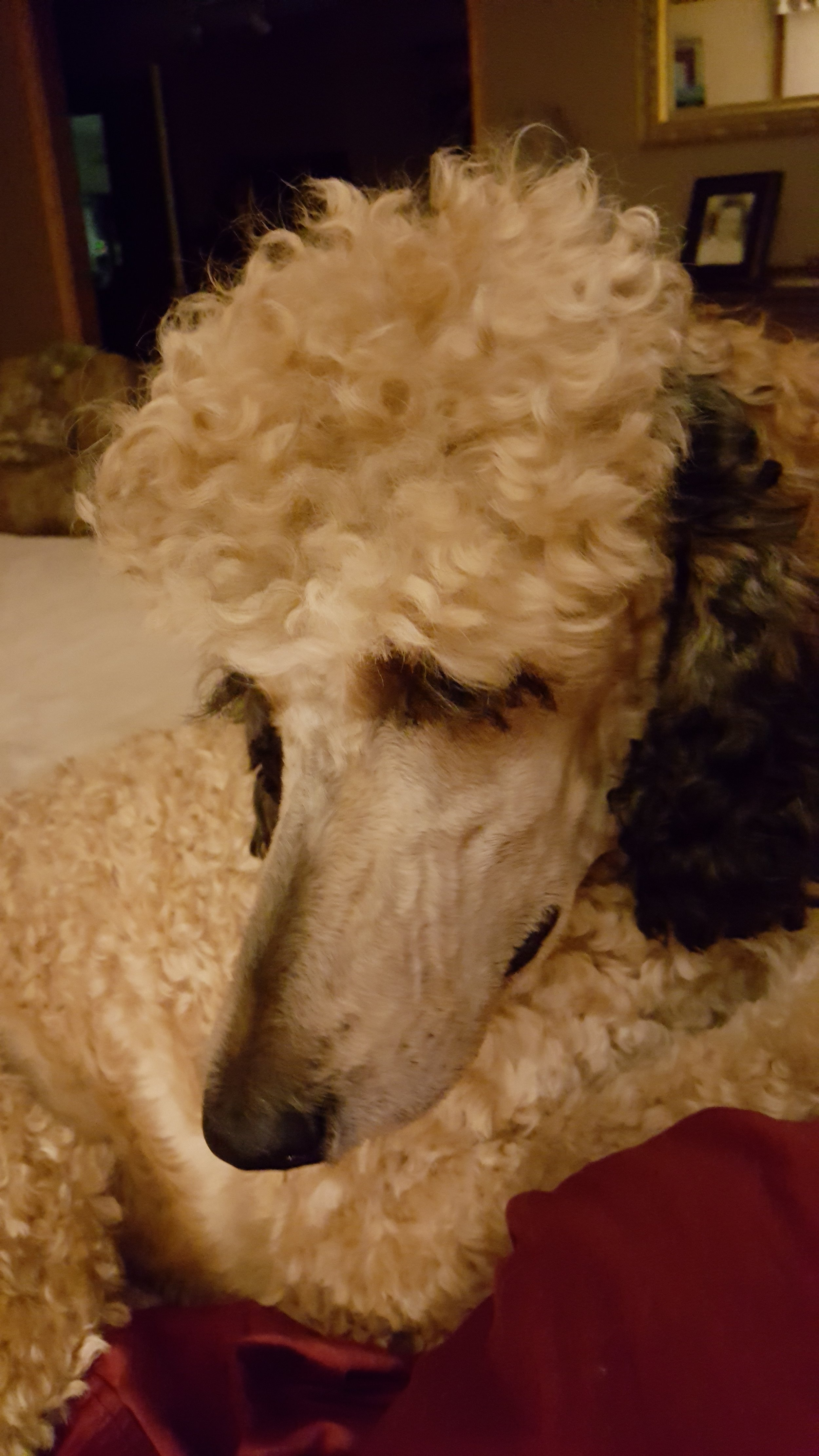 Piper's Standard Poodles