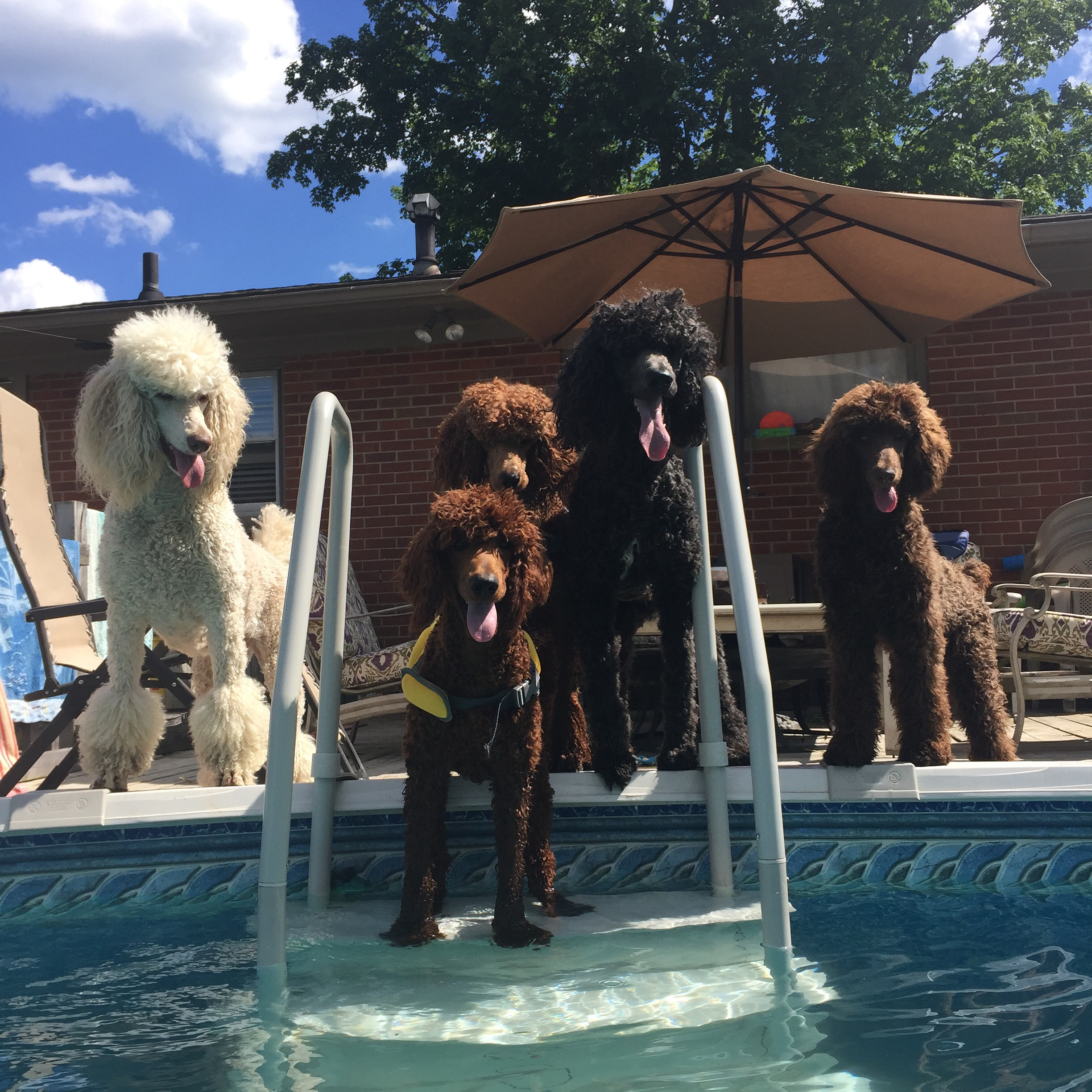 Standard Poodle Pool Party