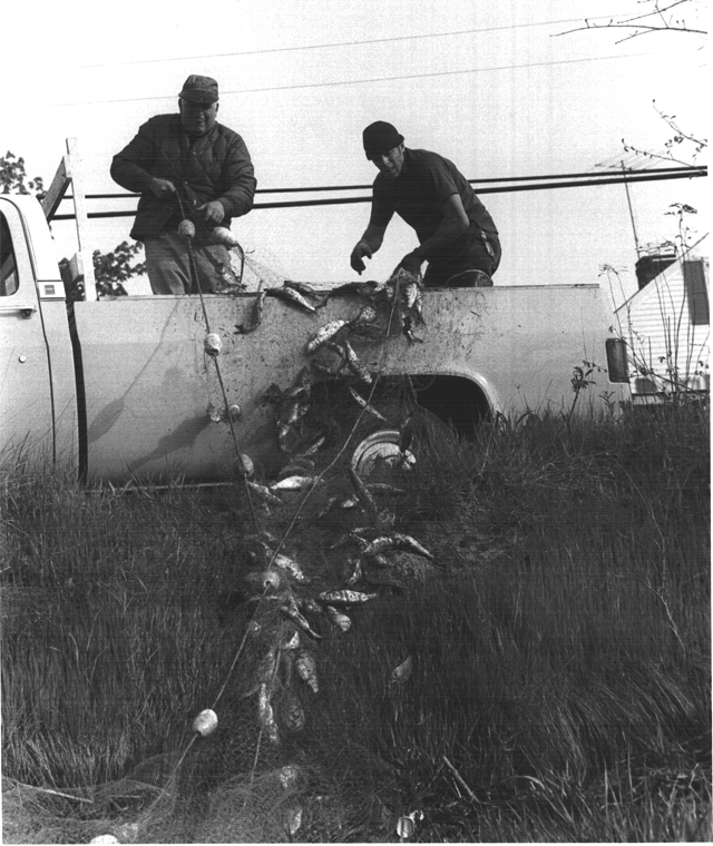 Gillnetting alewives on the Squamscott River for use as lobster bait. Undated photograph from the Exeter News-Letter. Courtesy of the Exeter Historical Society