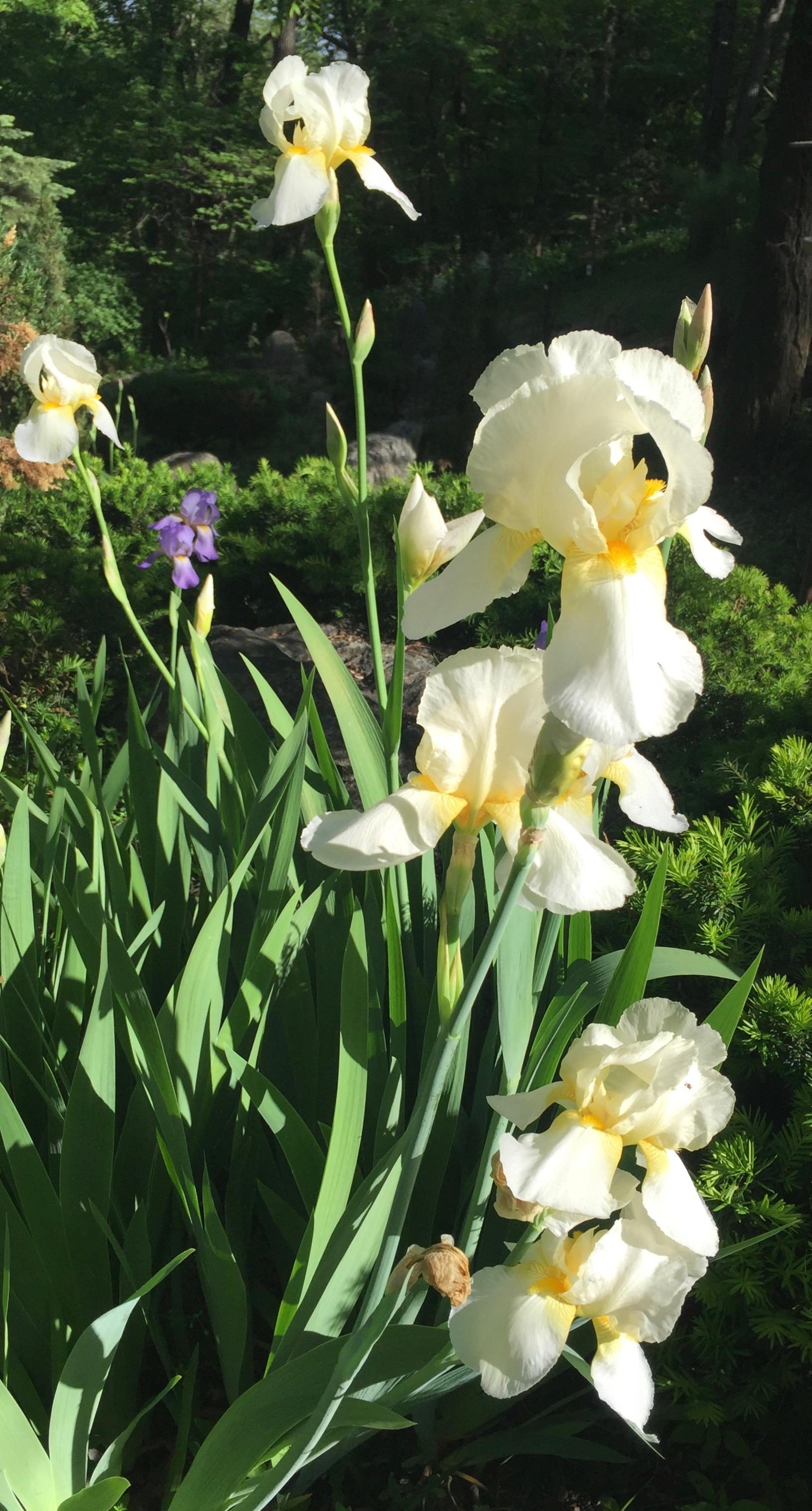 white iris.jpeg