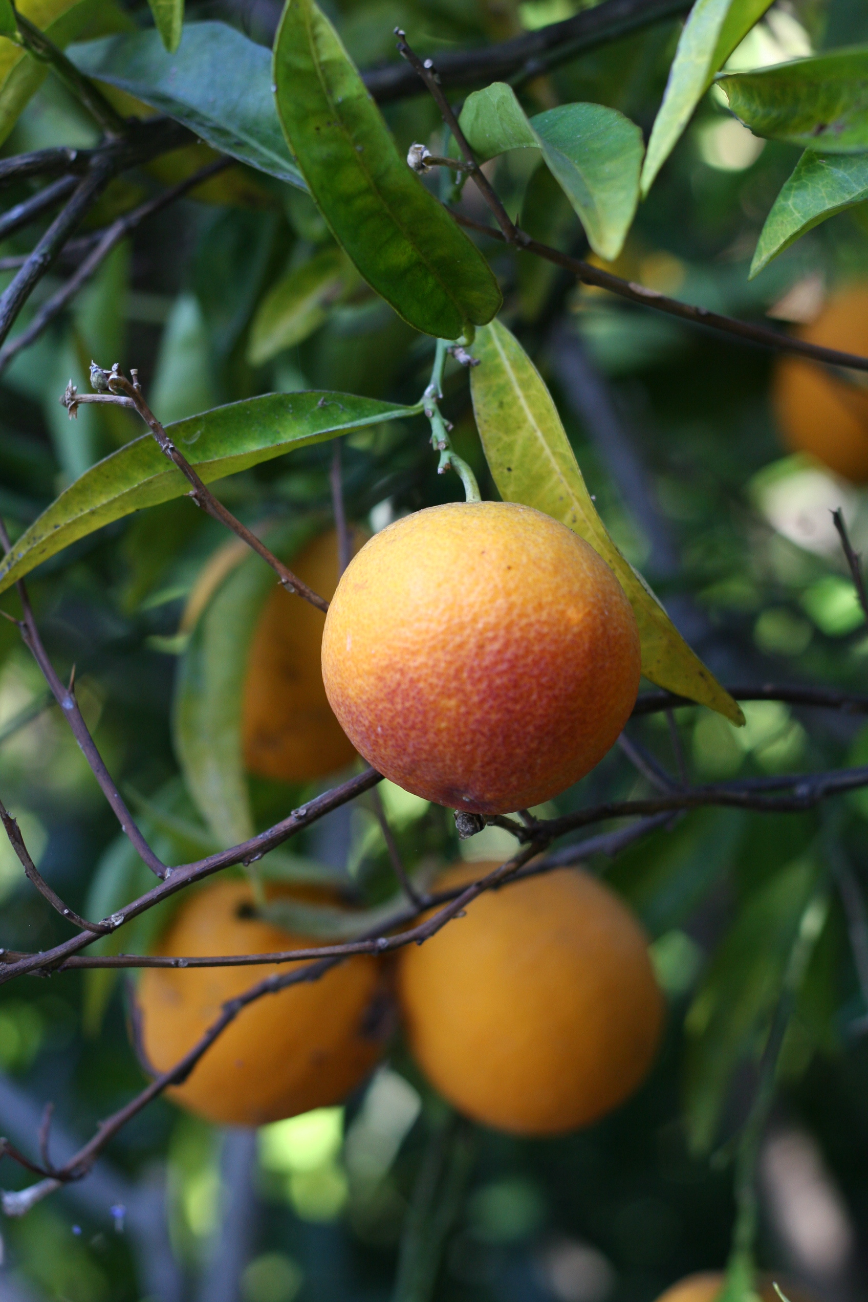Cake Bloom's winter citrus inspiration: Blood Orange tree