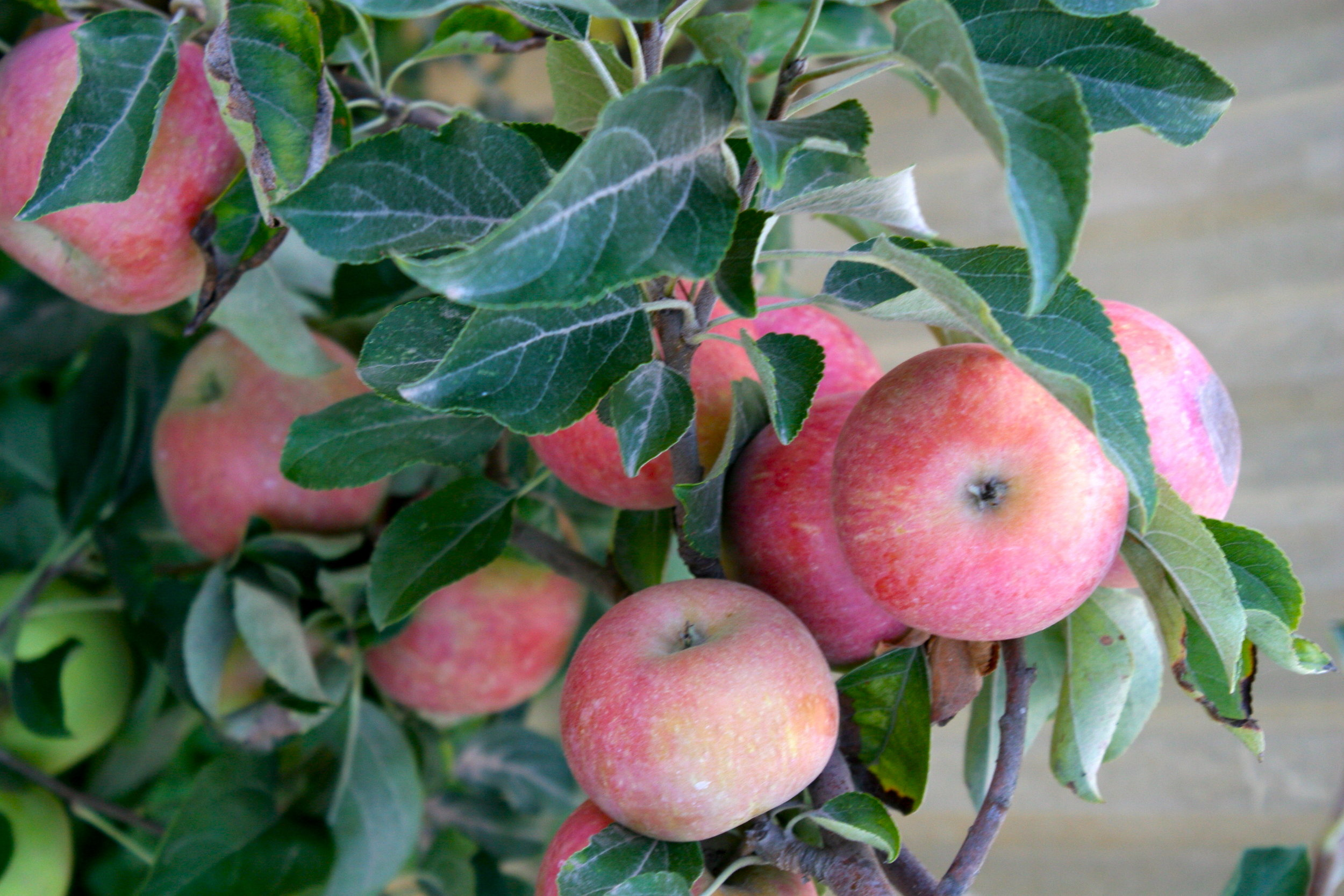 apples - sonoma broadyway farms - cakebloom.JPG