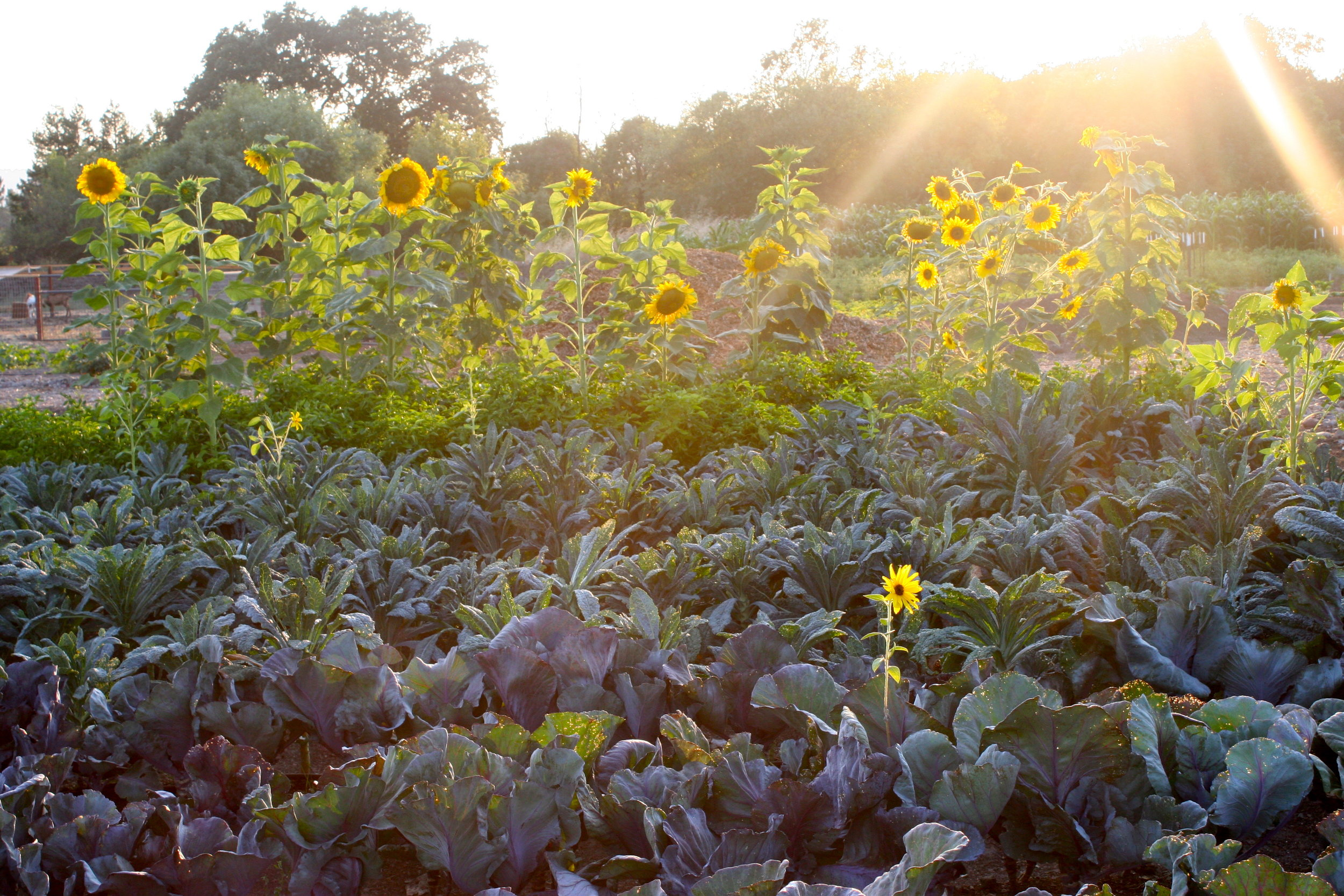 dusk - sonoma broadway farms - cakebloom - sunflowers - kale.JPG