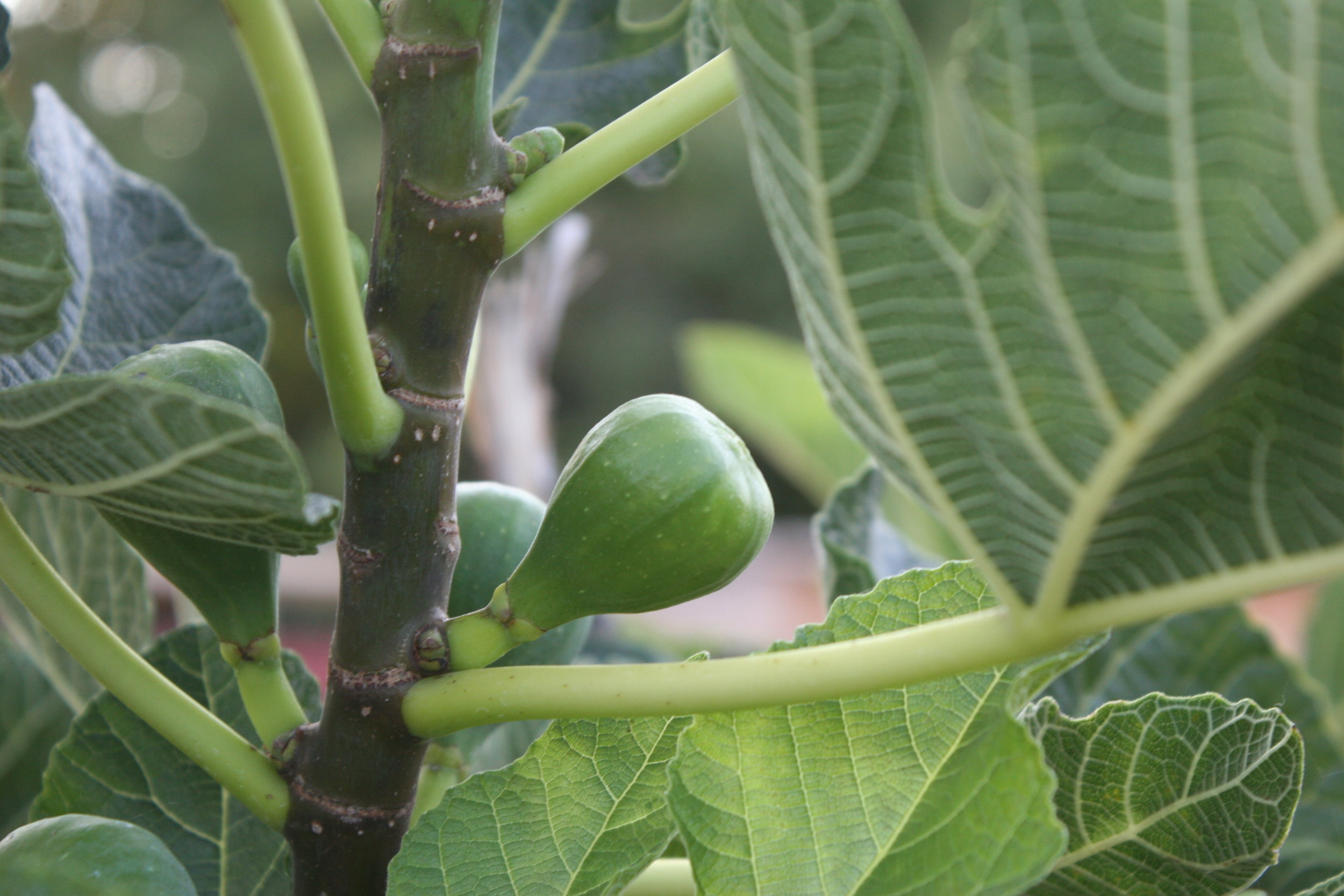 figs - sonoma broadway farms - cakebloom.JPG