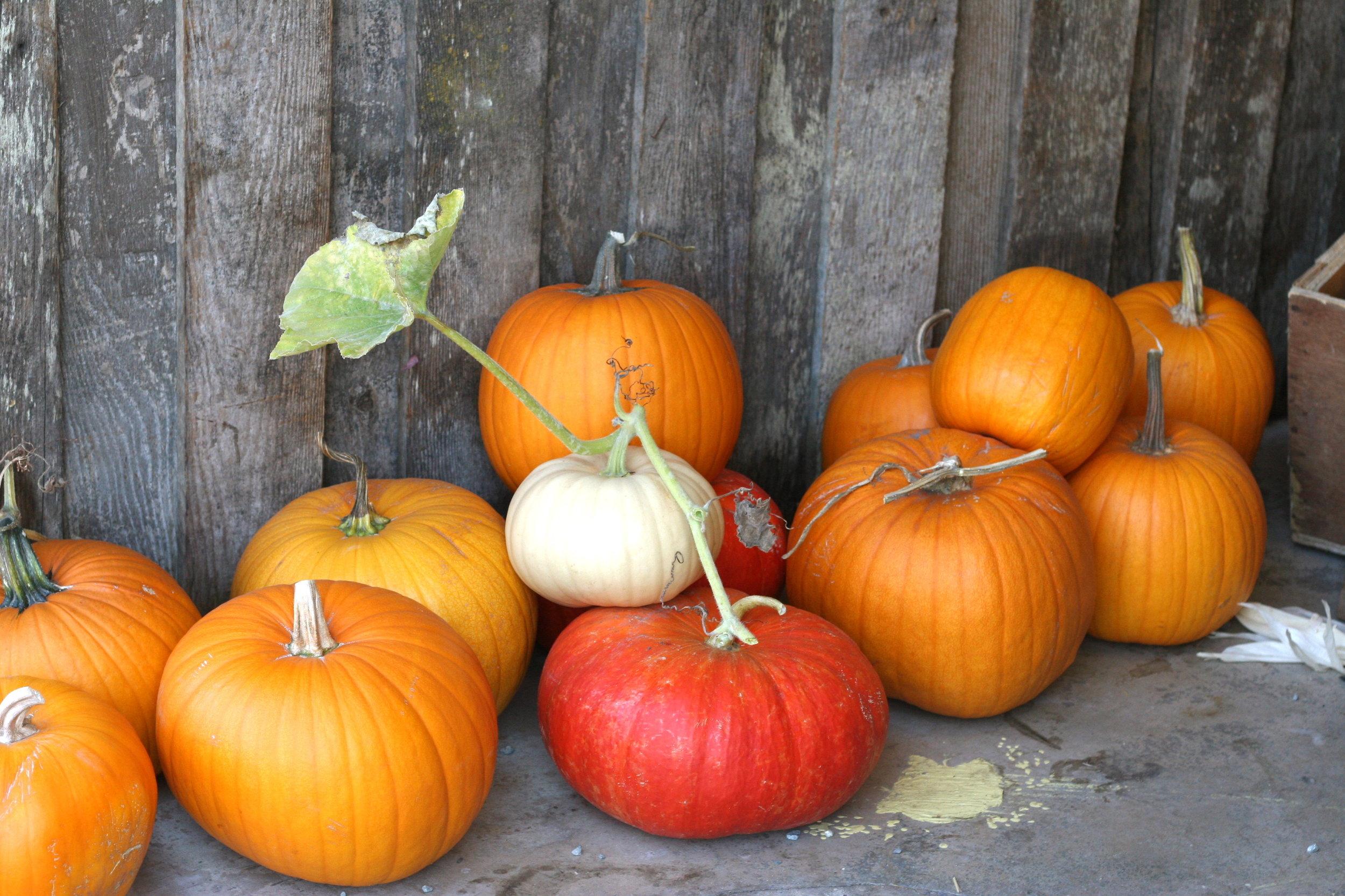 pumpkins - Sonoma Broadway Farms - Cakebloom, Sonoma, CA