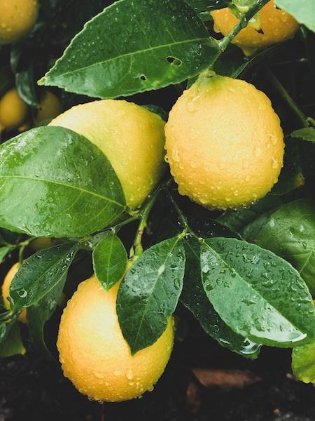Cake Bloom inspiration: Meyer lemons