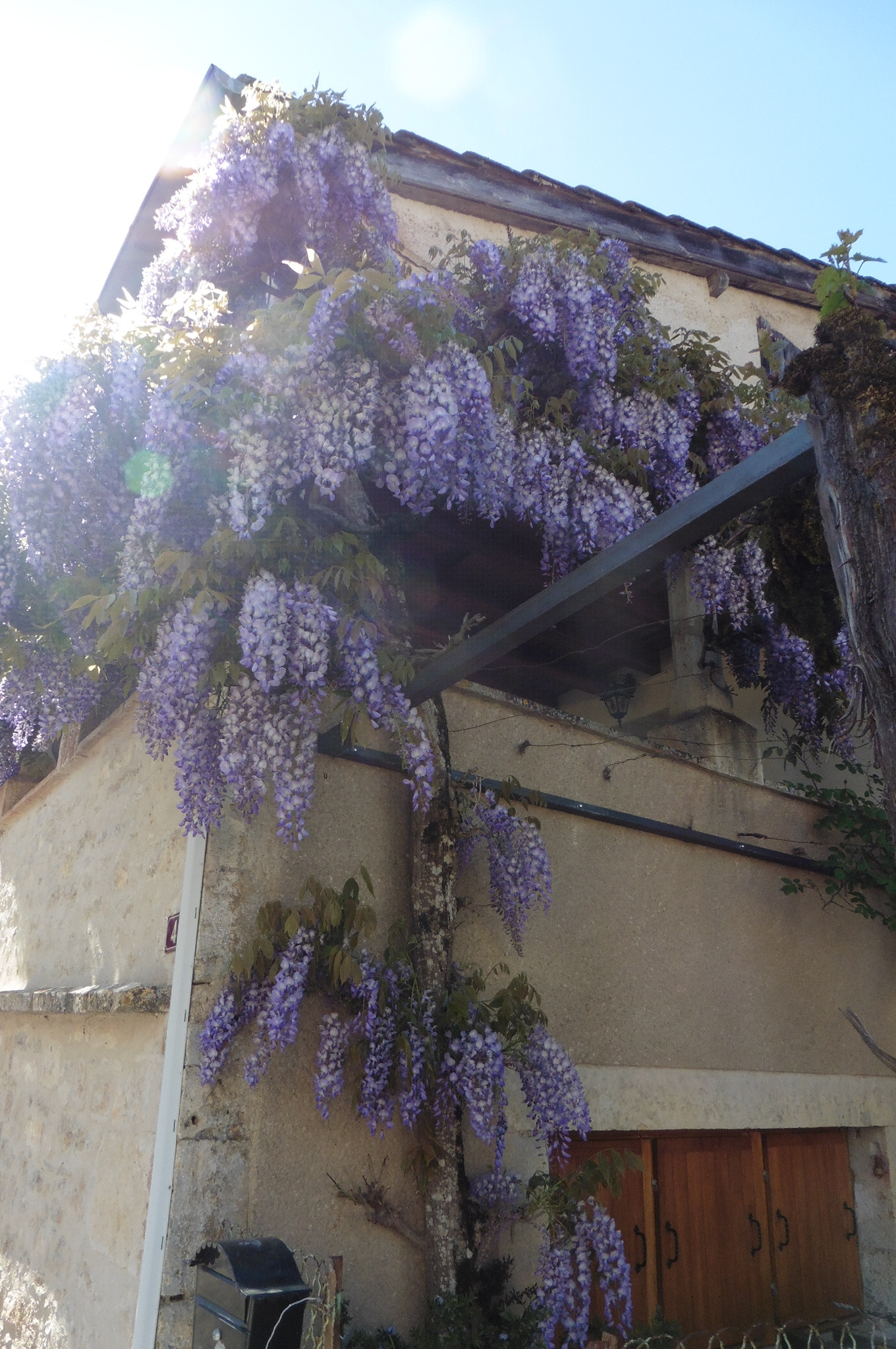 The beautiful wisteria almost filling this terrace area.