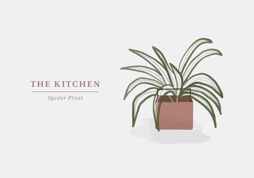 If the herbs you need for cooking isn't enough for you, why not add a little something extra. The Spider Plant is very adaptable and will thrive in both sun and low-light conditions. It is a favourite to many as it's very easy and because it gets funny little offsprings, resembling a spider hanging from its web, hence the name. The Spider Plants are believed to purify the air which is a great benefit in your kitchen. Make sure you don't let too many of the babies stay on, as it will drain the mother plant for energy. Just cut them off and re-plant them, and soon you will have an entire little family of Spiders.