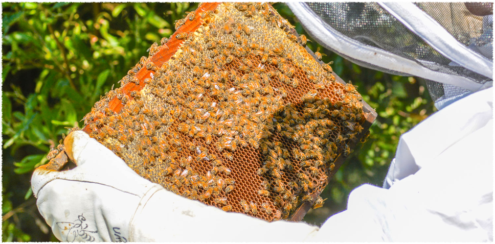 Live Bees -