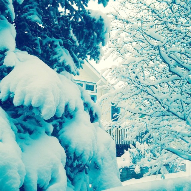 snowyspruce.jpg