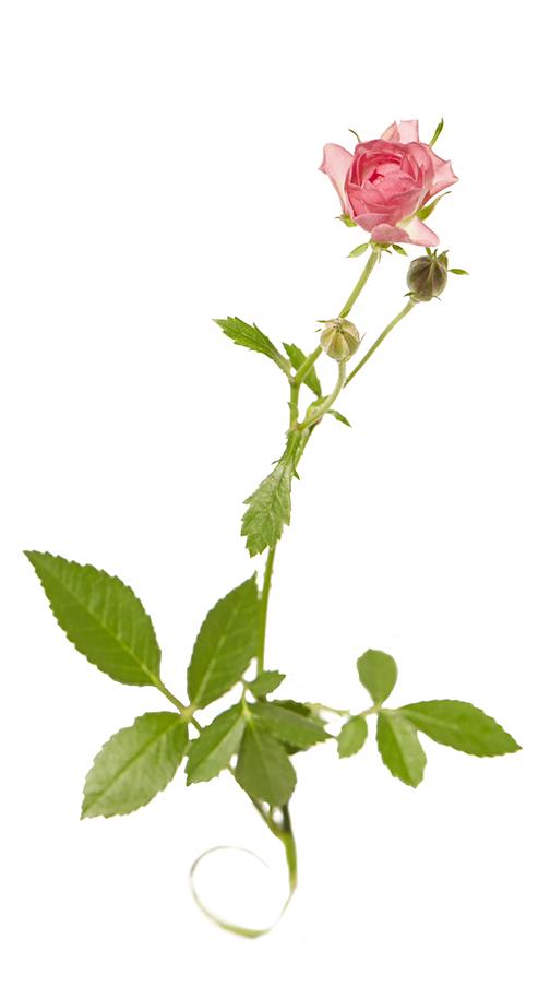 small rose.jpg